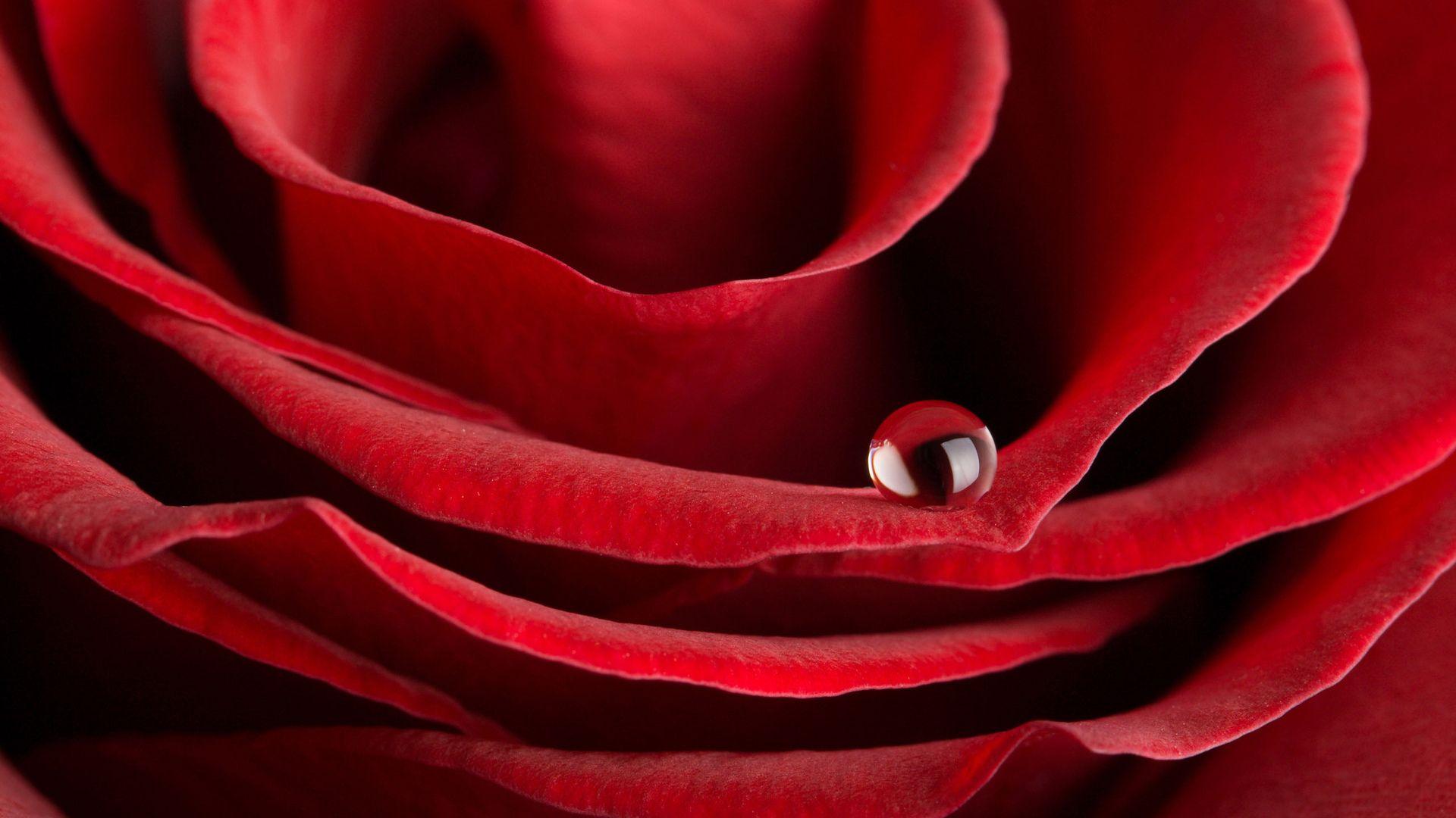 Beautiful Rose beautiful wallpaper