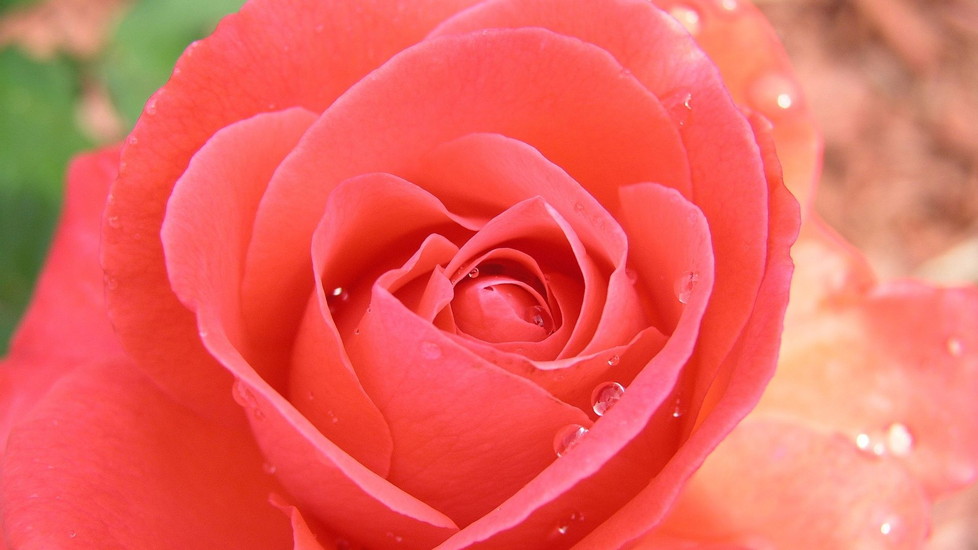 Beautiful Rose Wallpaper and Background