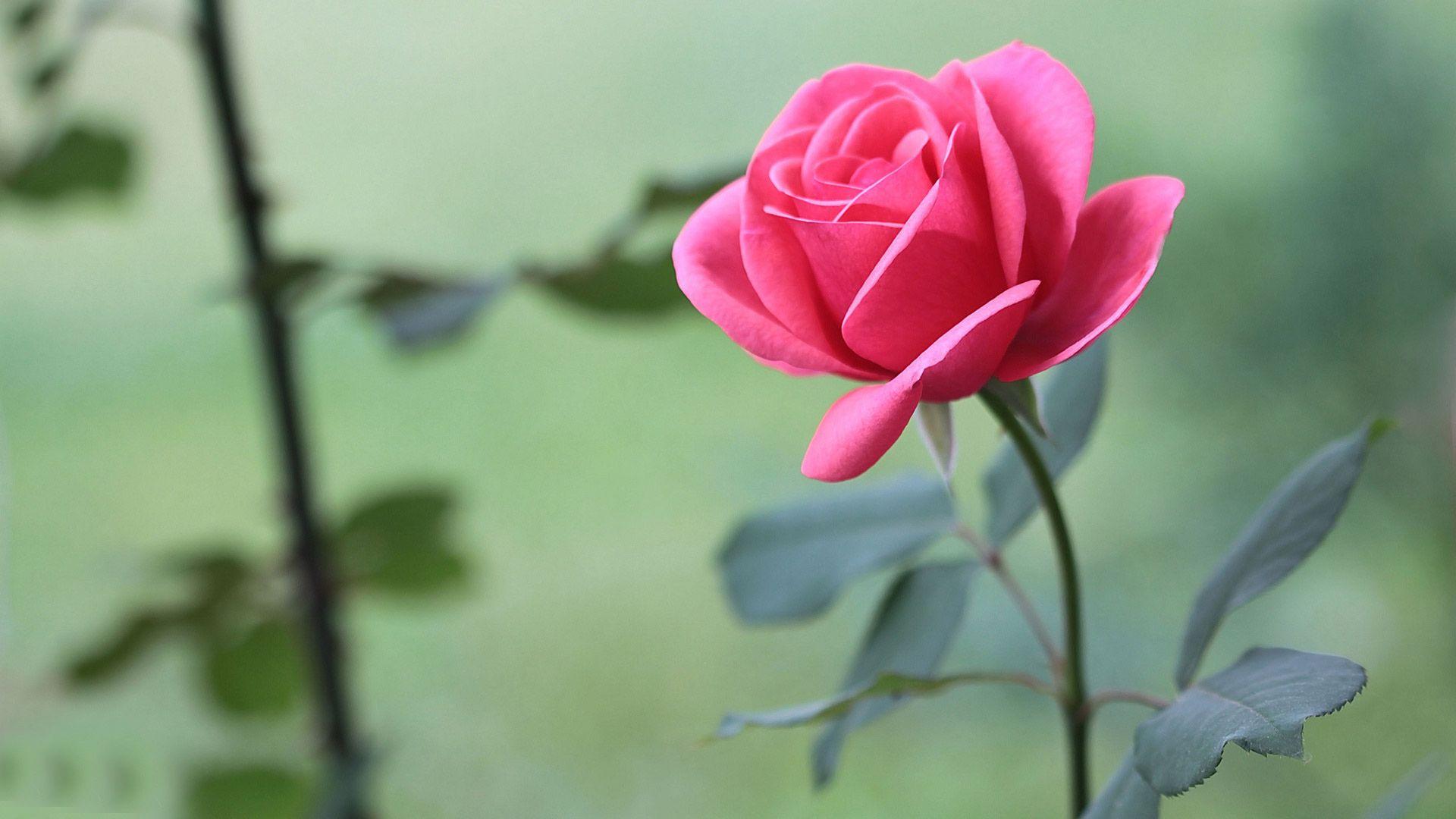 Beautiful Rose Full HD Wallpaper