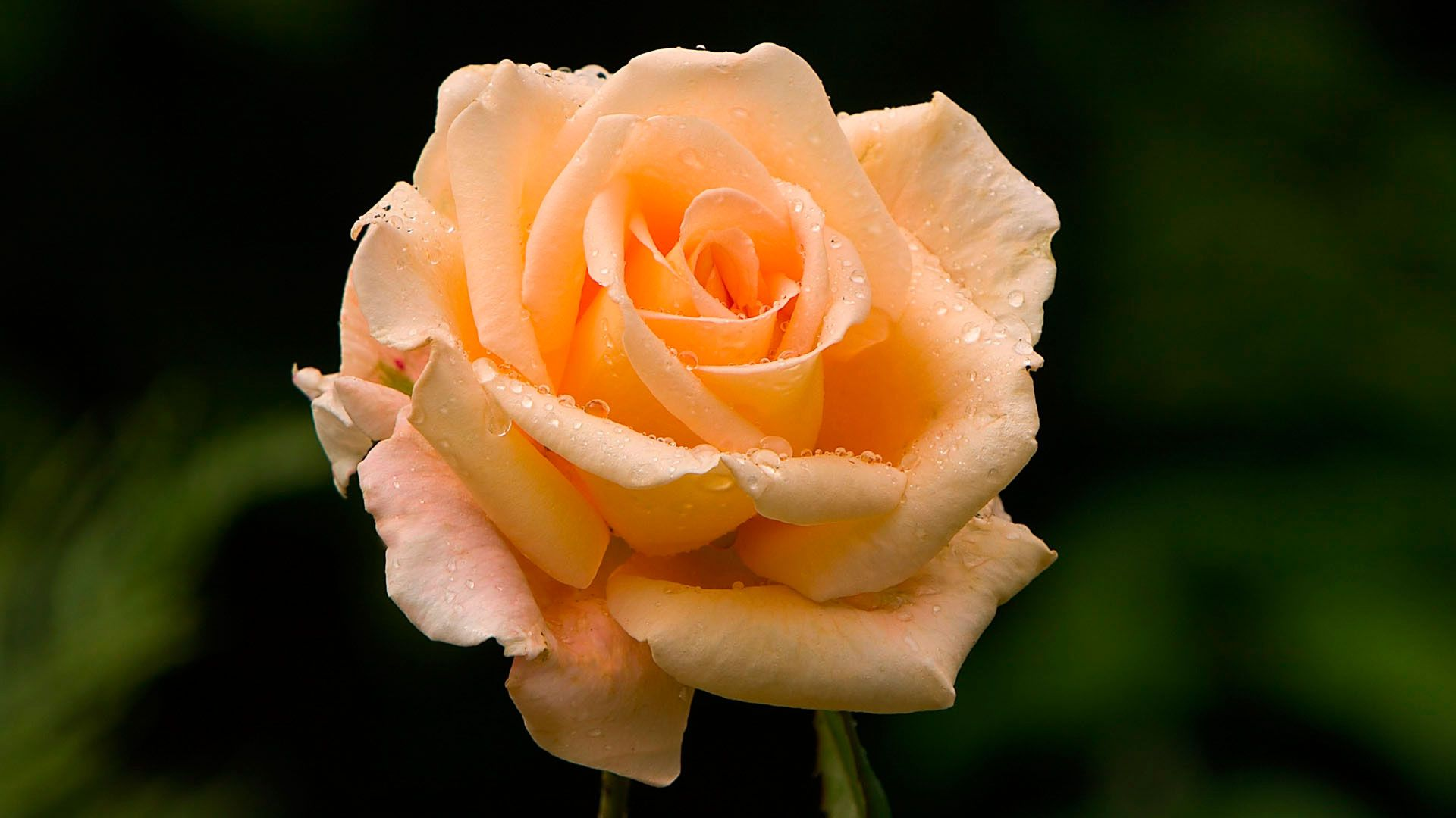 Beautiful Rose Free Wallpaper and Background