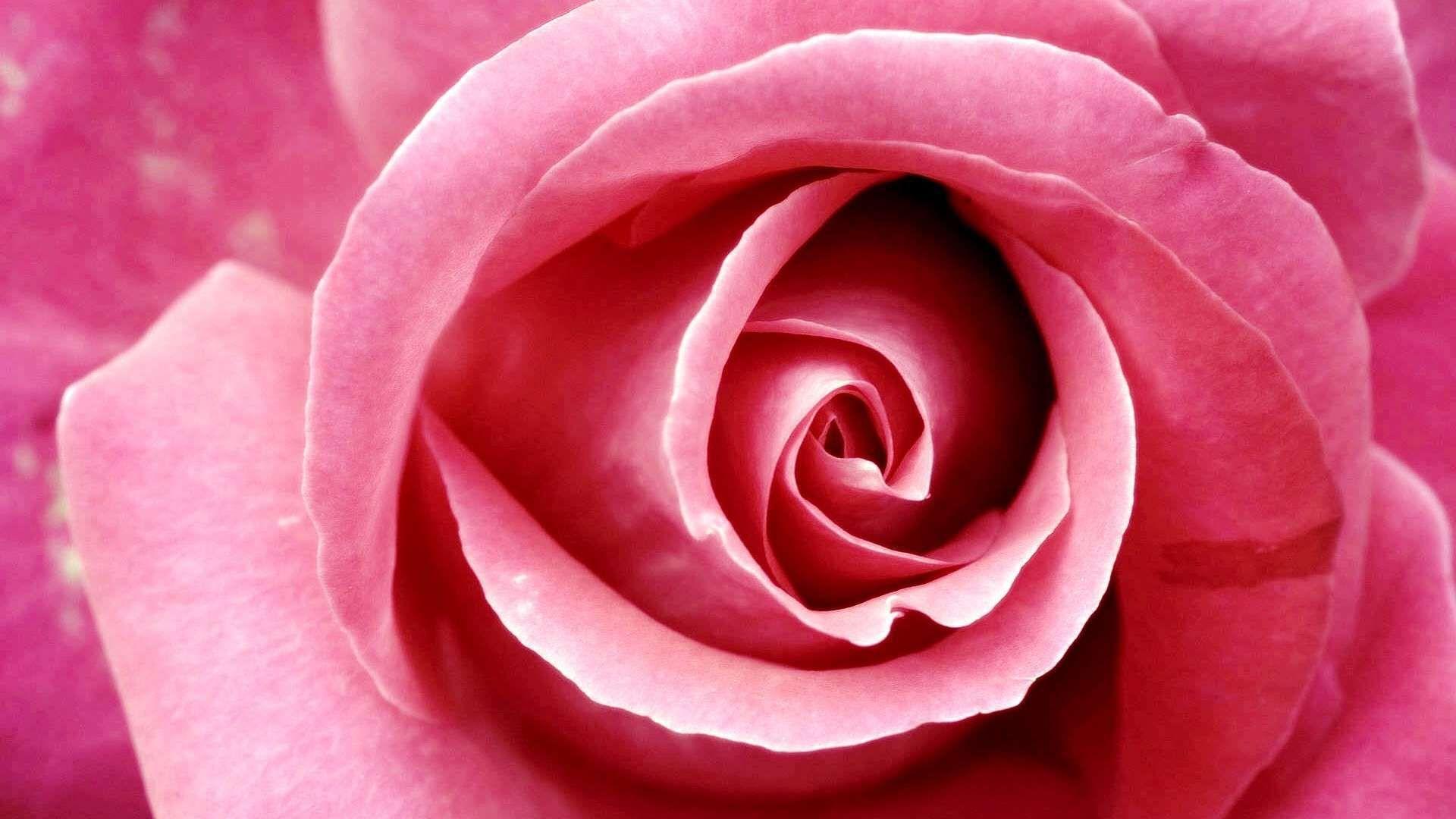 Beautiful Rose Cool HD Wallpaper