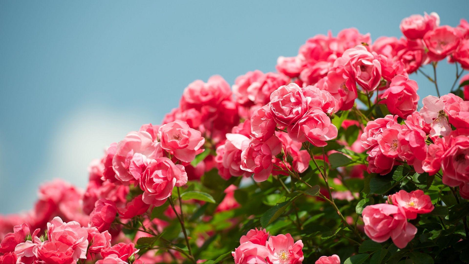 Beautiful Rose HD Desktop Wallpaper