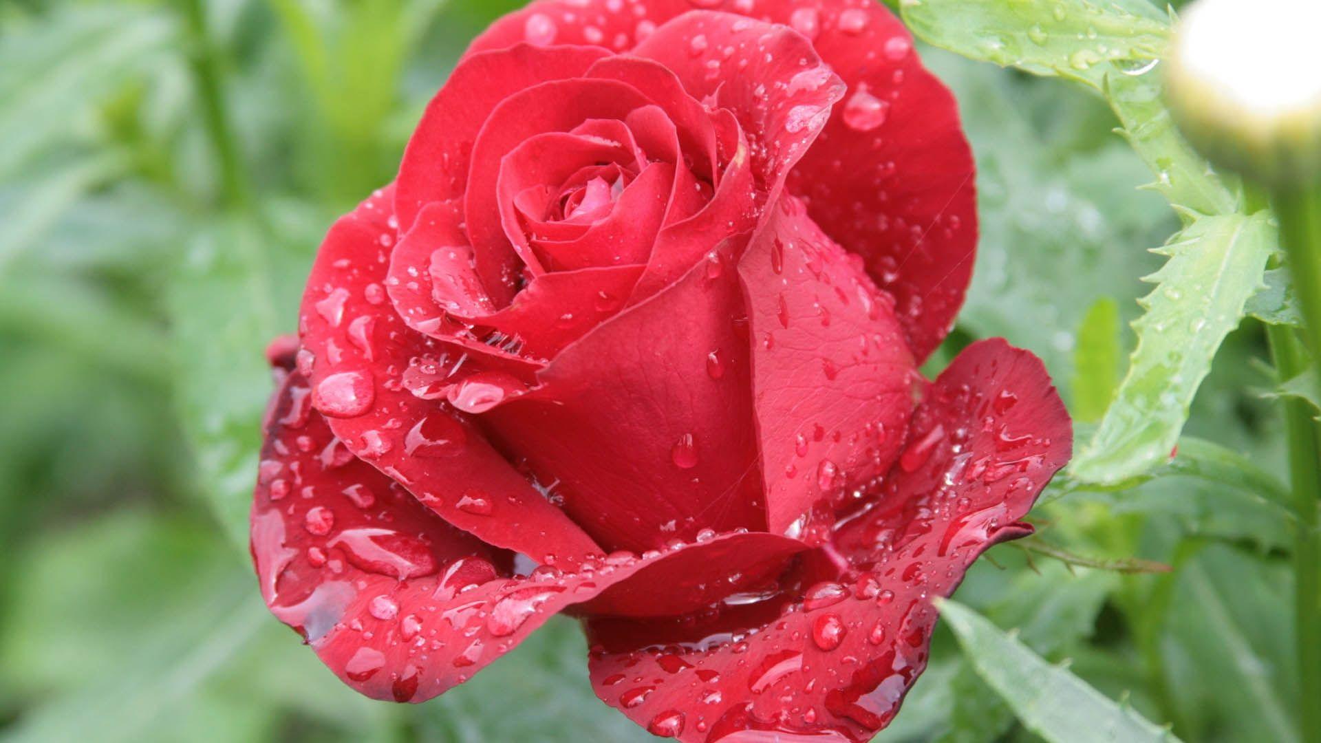 Beautiful Rose full hd wallpaper for laptop