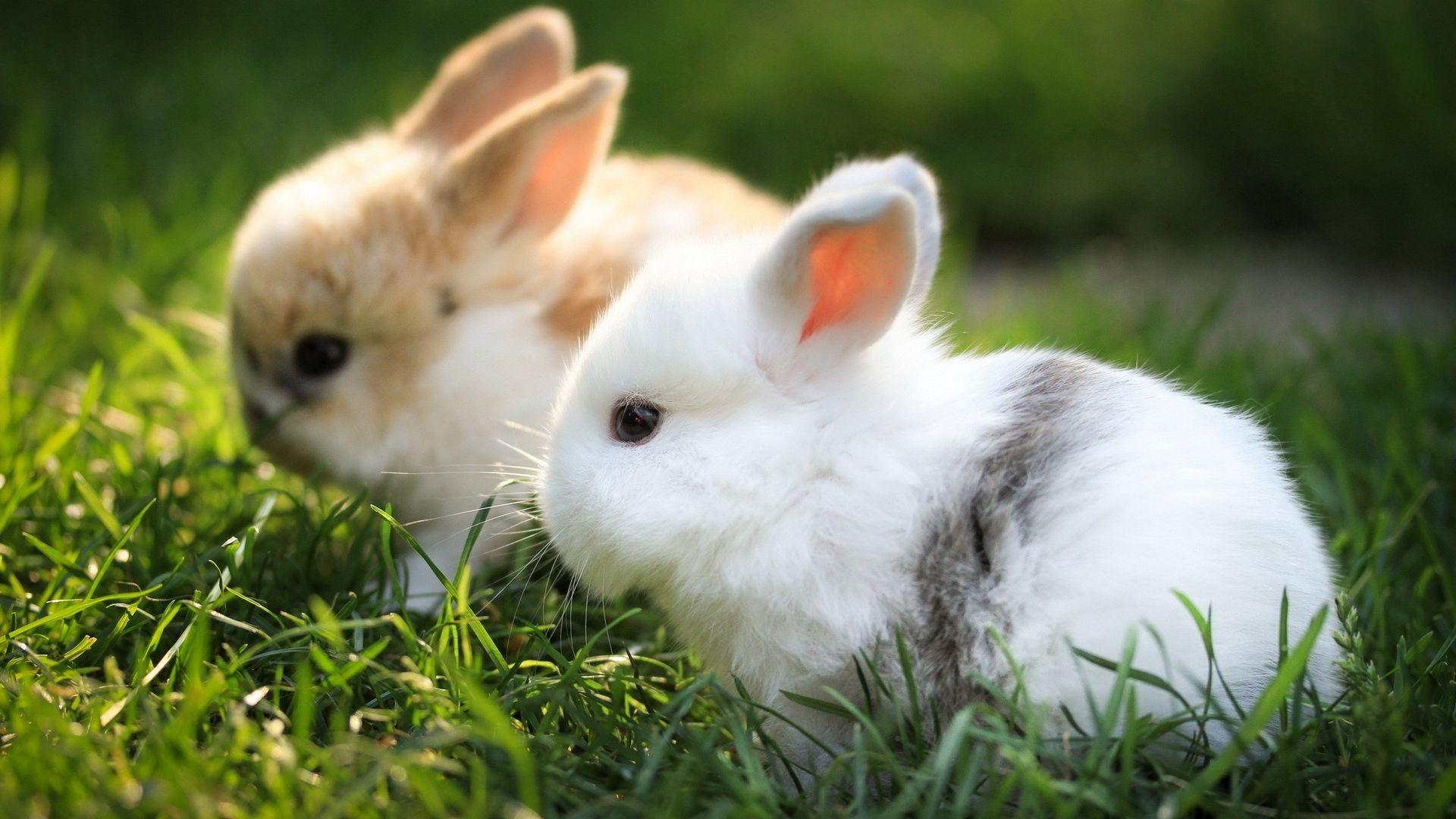 Bunny Background Wallpaper HD