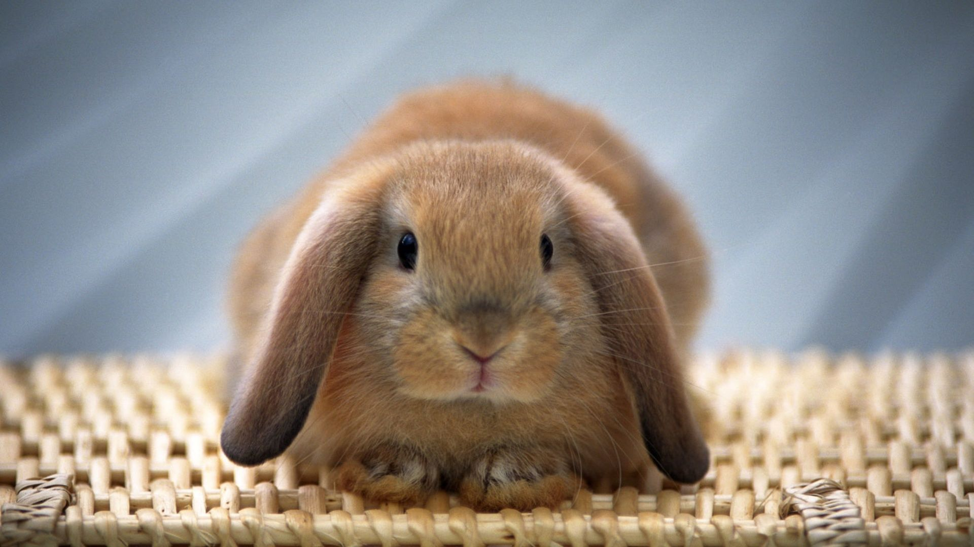 Bunny new wallpaper