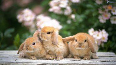 Bunny High Definition