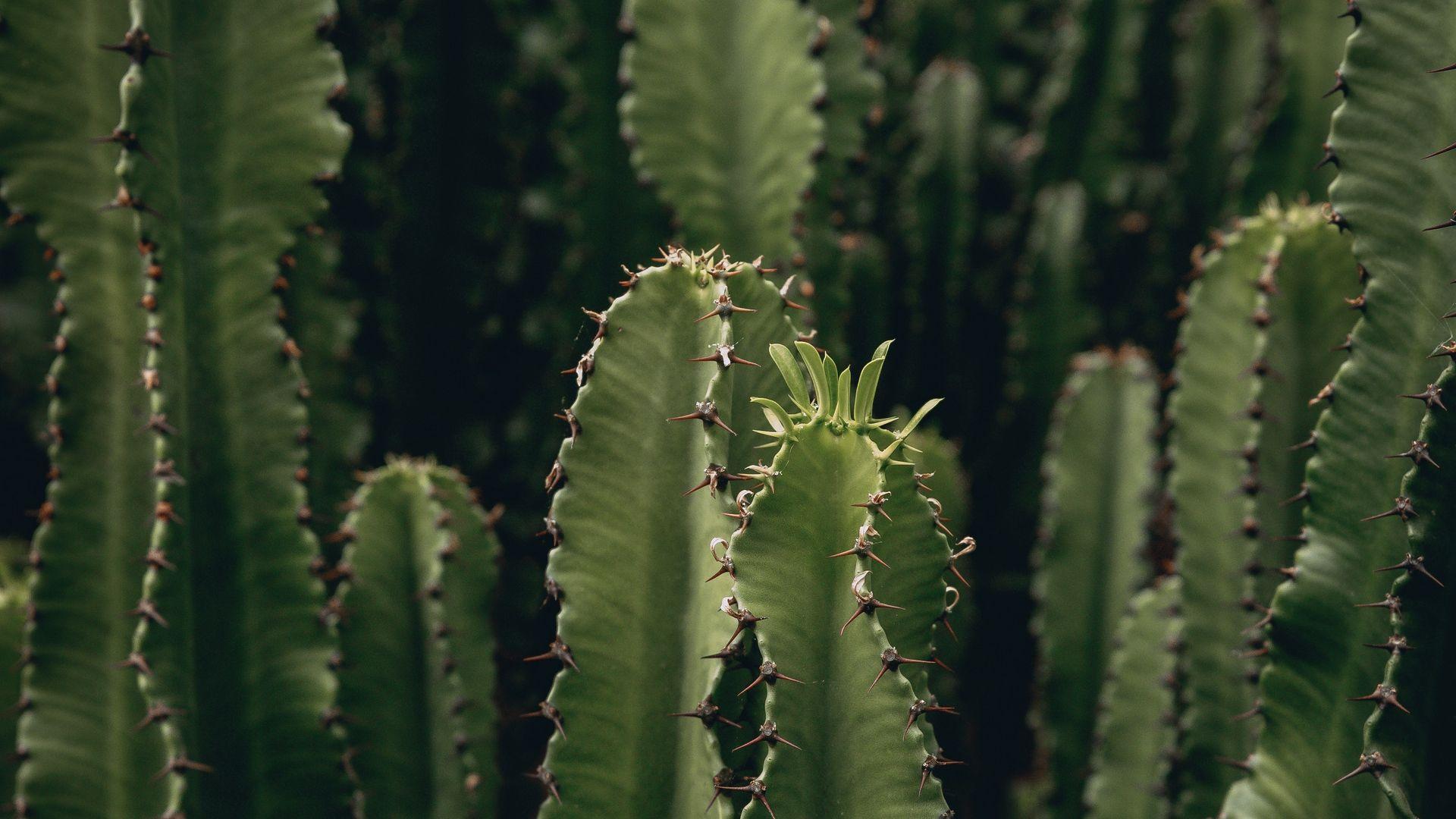 Cactus HD Wallpaper