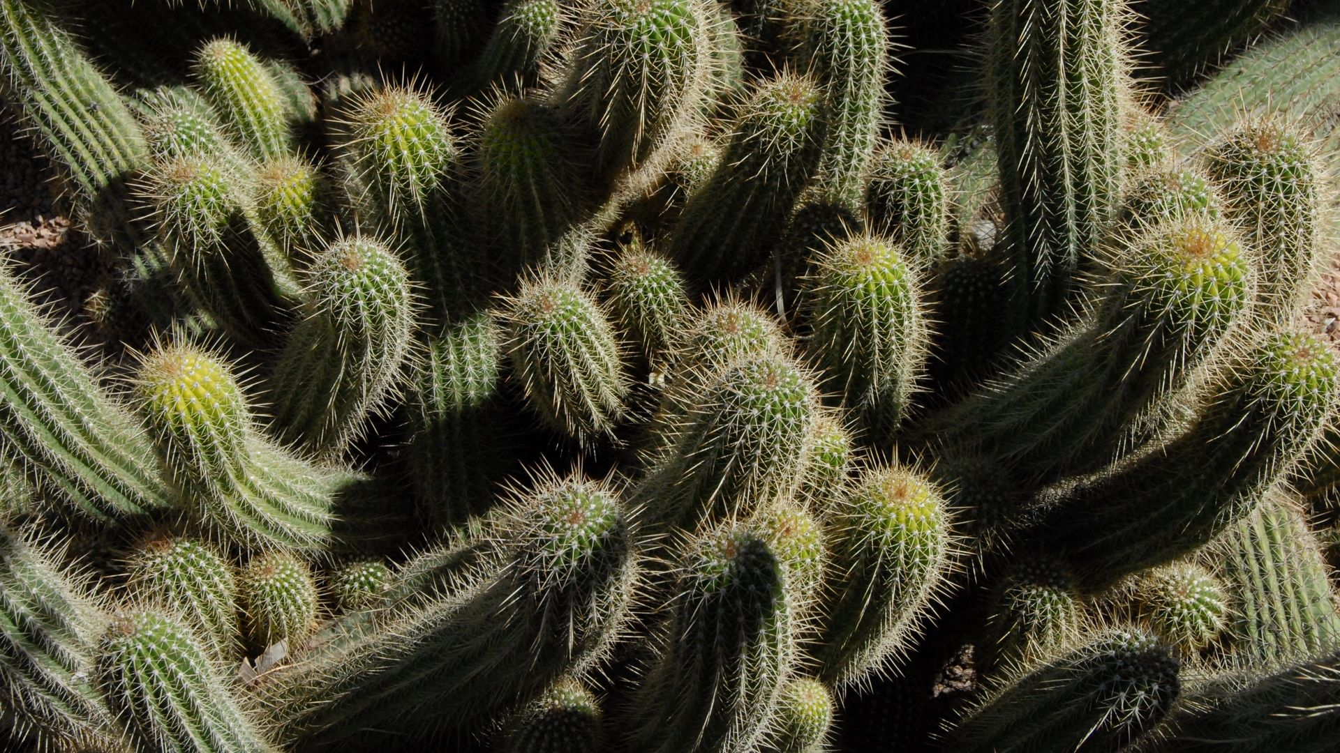 Cactus wallpaper photo