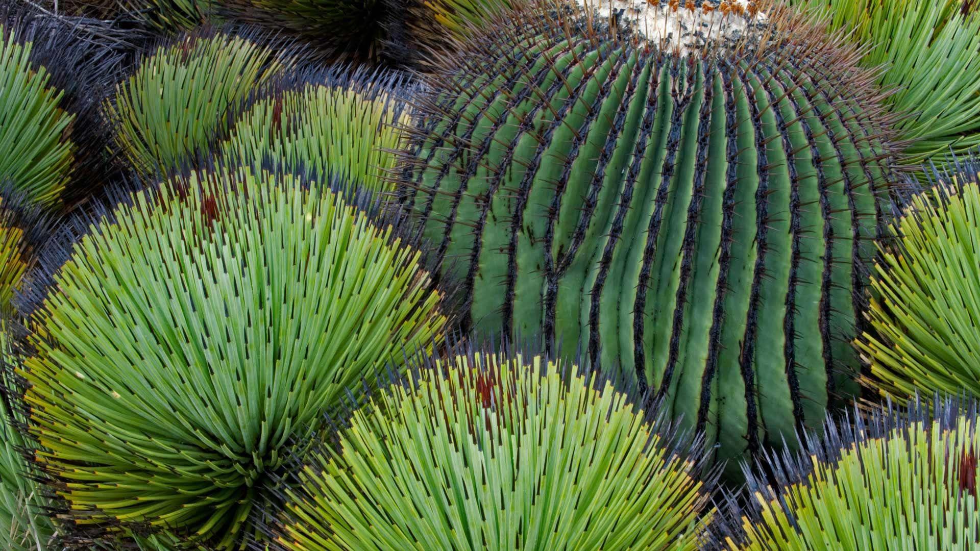 Cactus free hd wallpaper