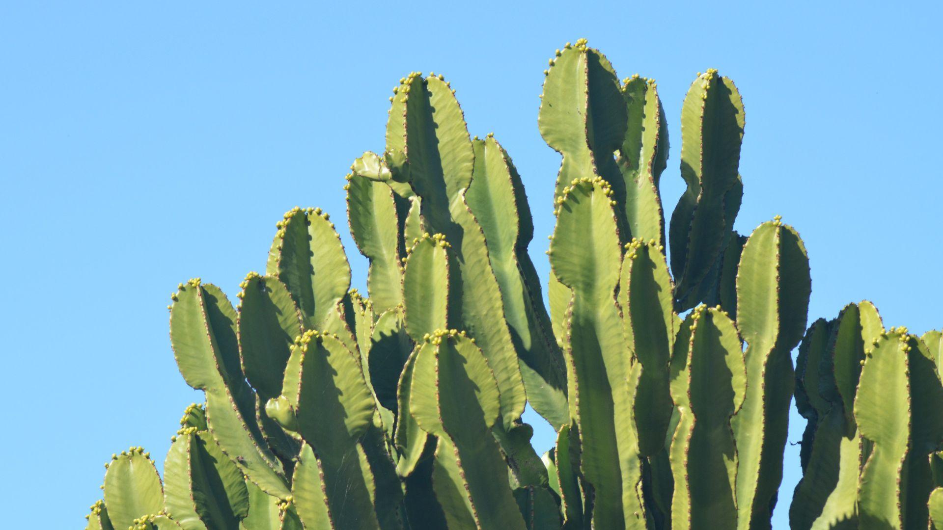 Cactus Nice Wallpaper