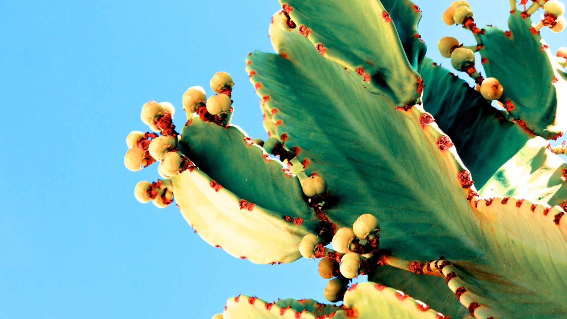 Cactus Good Wallpaper