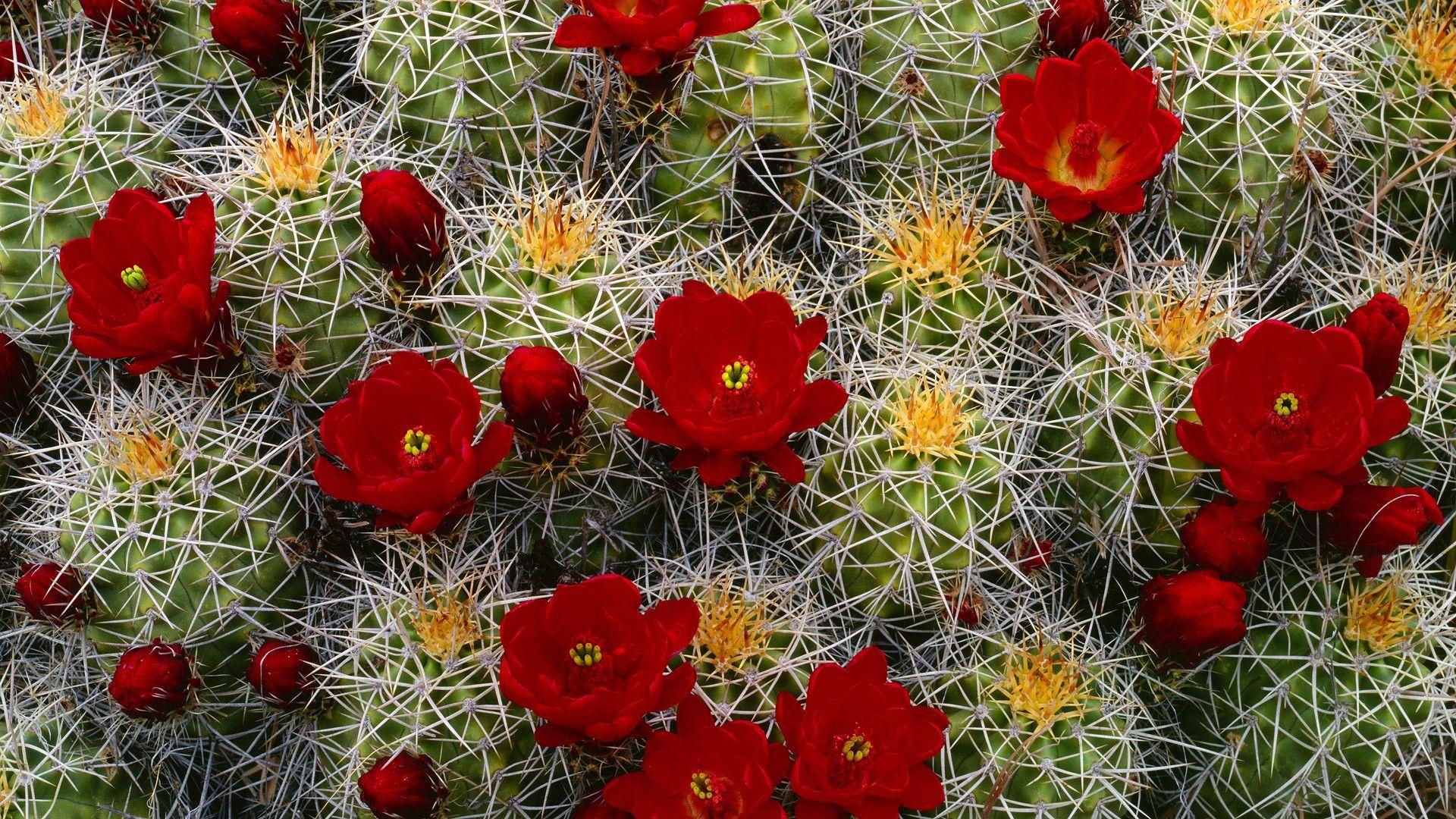 Cactus background wallpaper