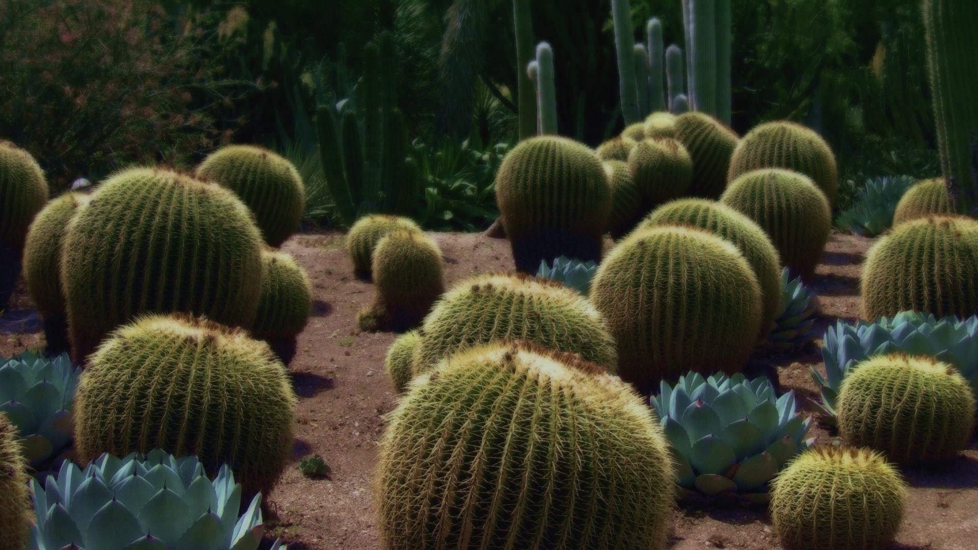 Cactus full screen hd wallpaper