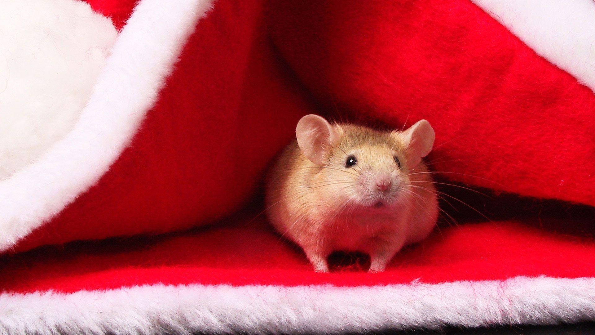 Christmas White Rat wallpaper photo full hd