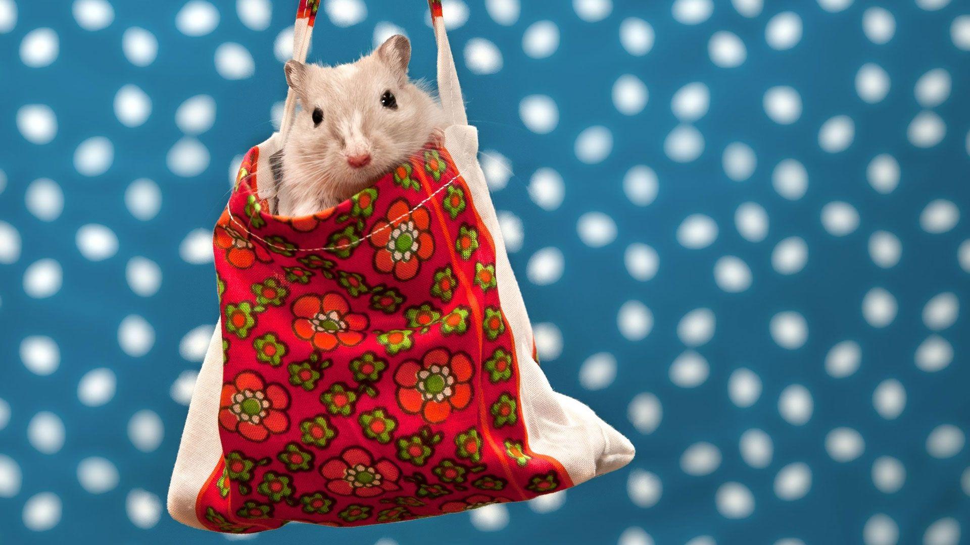 Christmas White Rat hd wallpaper for laptop