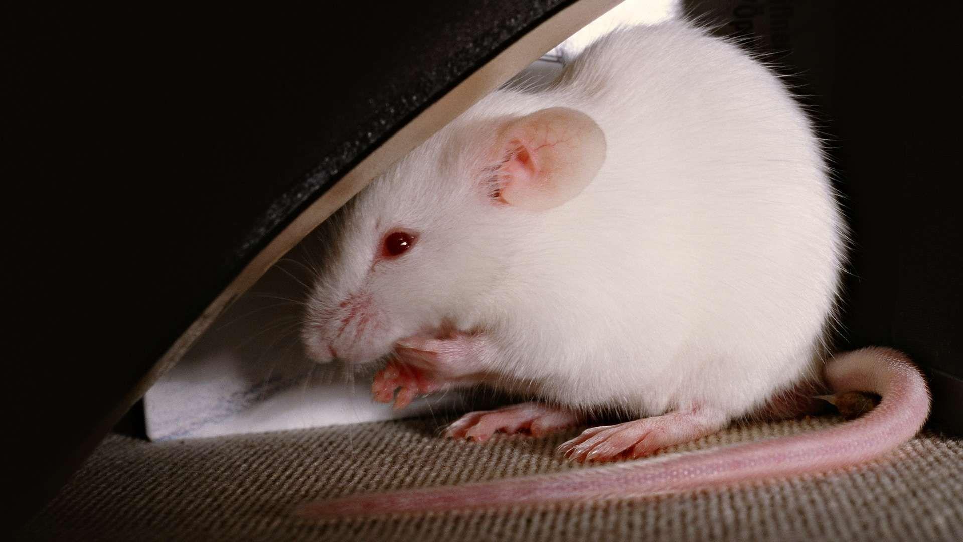 Christmas White Rat Good Wallpaper