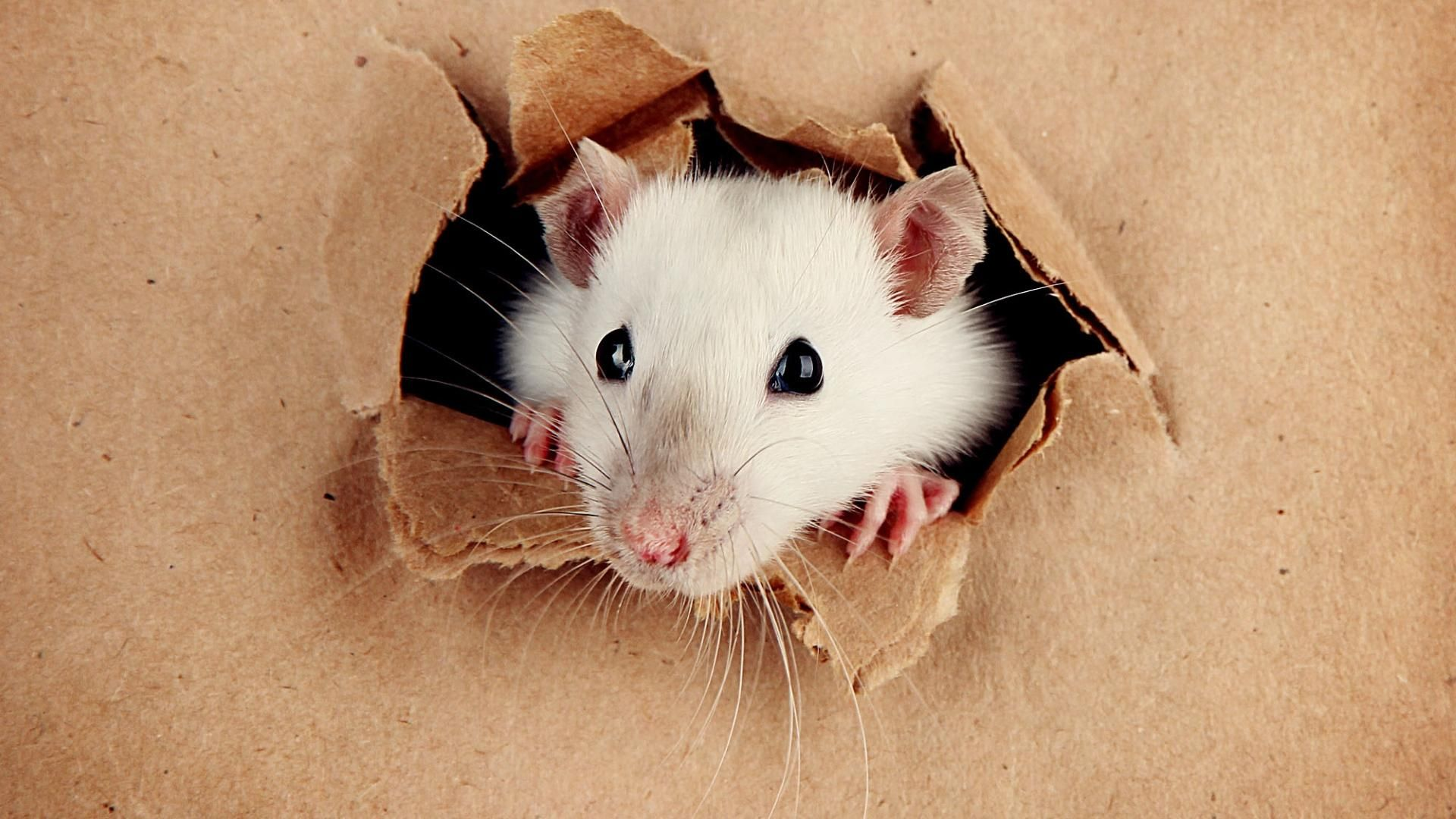 Christmas White Rat Wallpaper and Background