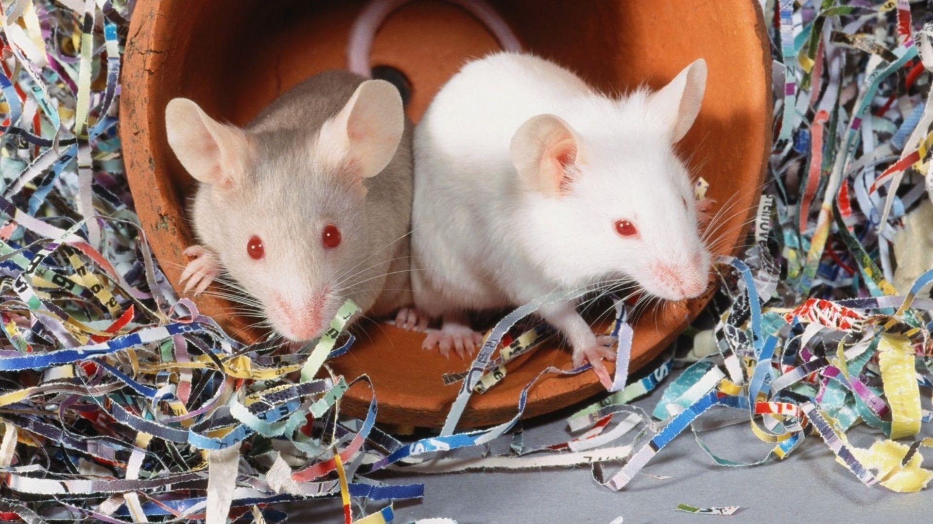 Christmas White Rat High Quality