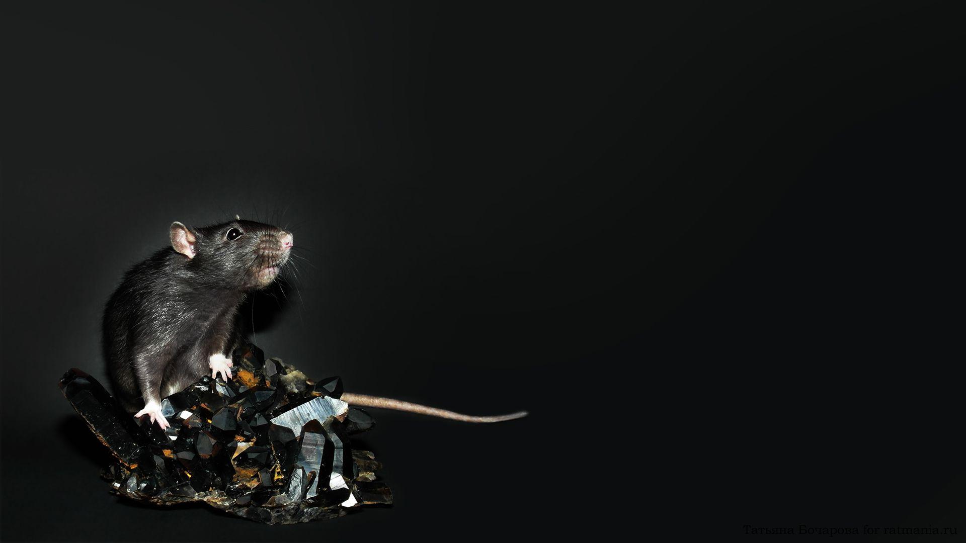 Christmas White Rat full wallpaper