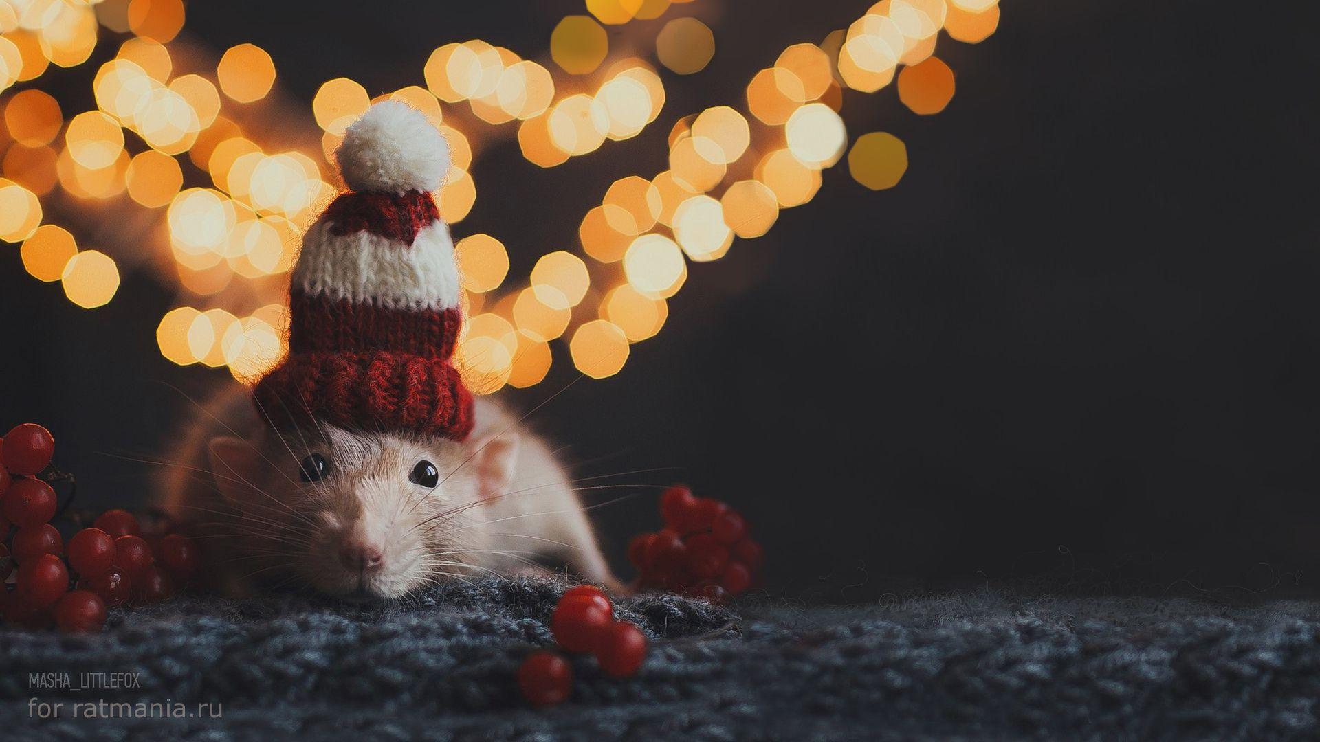 Christmas White Rat Free Download Wallpaper