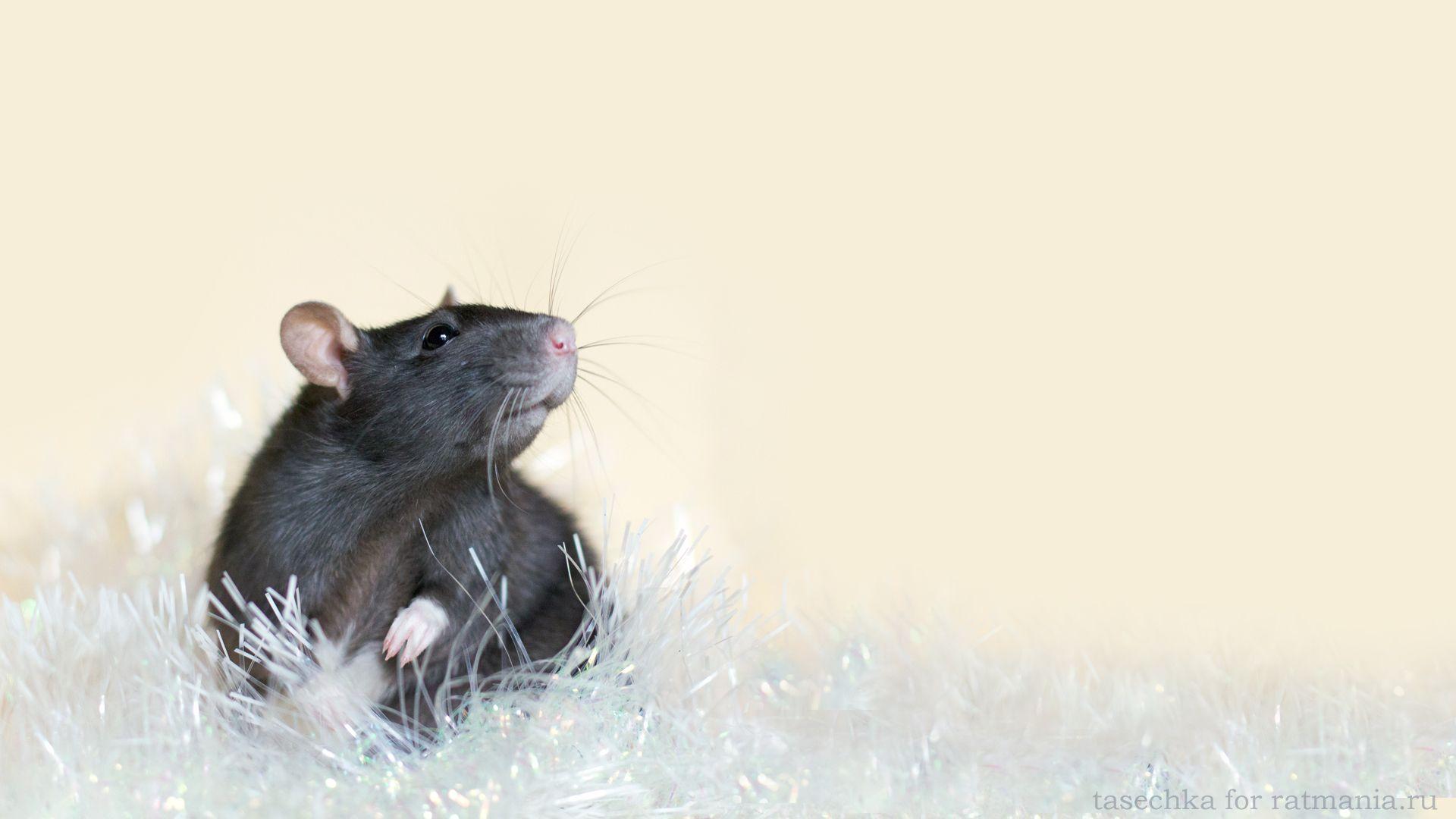 Christmas White Rat pc wallpaper