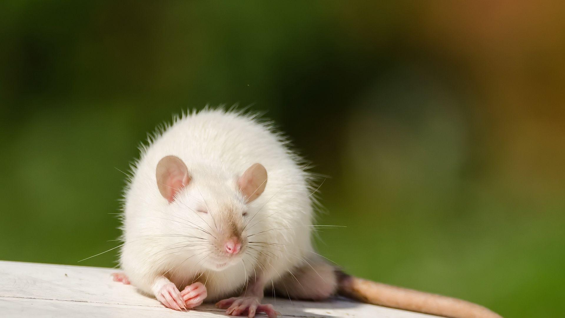 Christmas White Rat HD Wallpaper