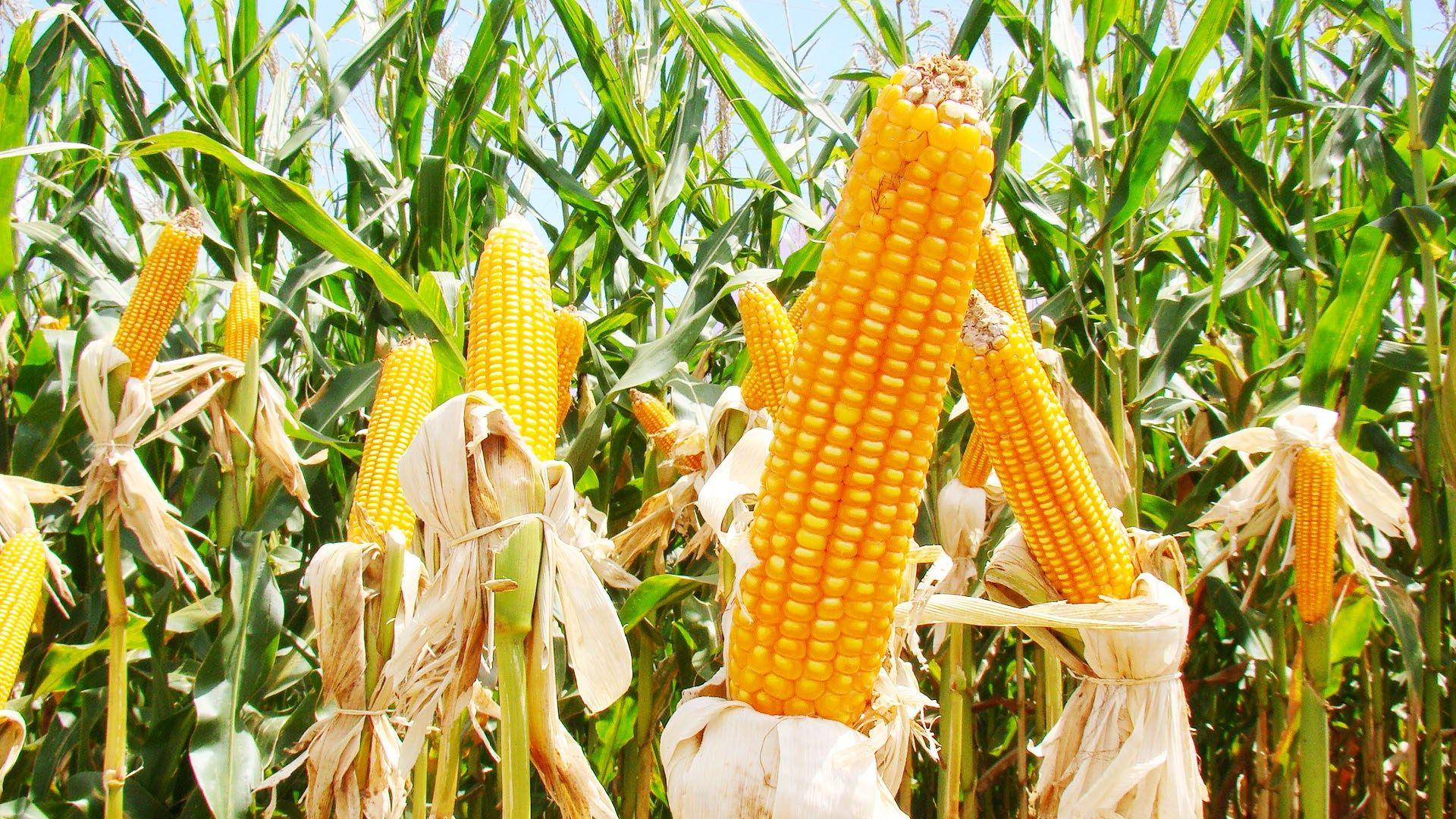 Corn wallpaper image hd