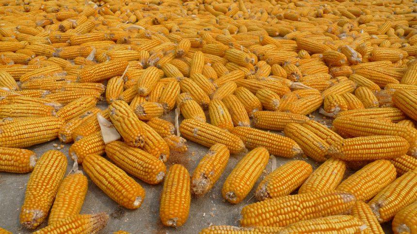 Corn wallpaper photo hd