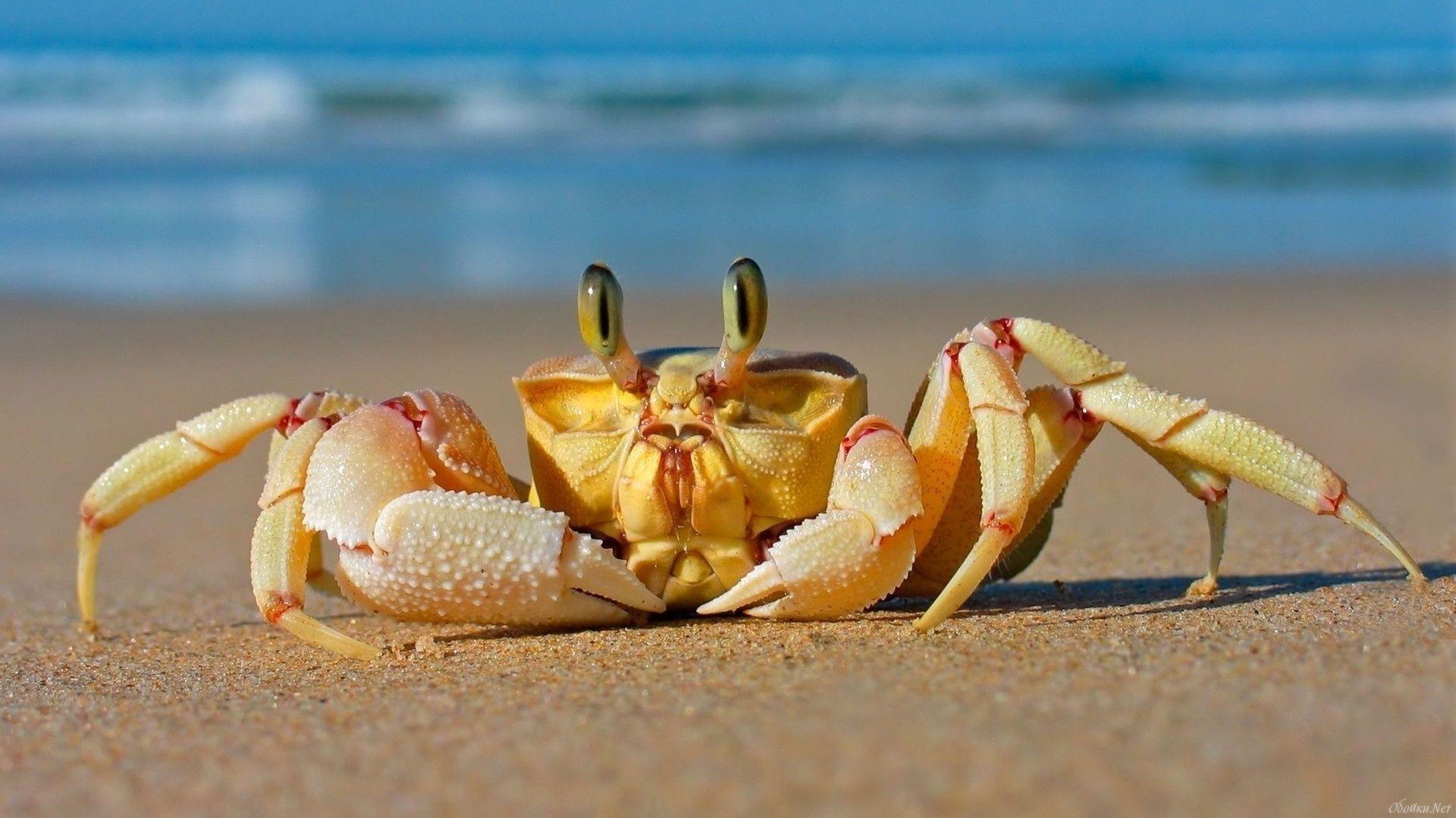 Crab wallpaper photo full hd