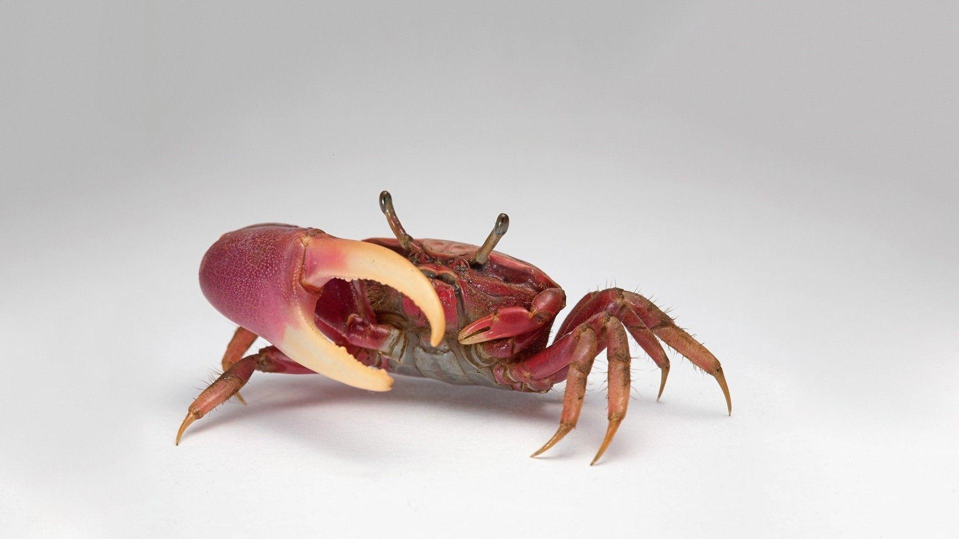 Crab HD Desktop Wallpaper