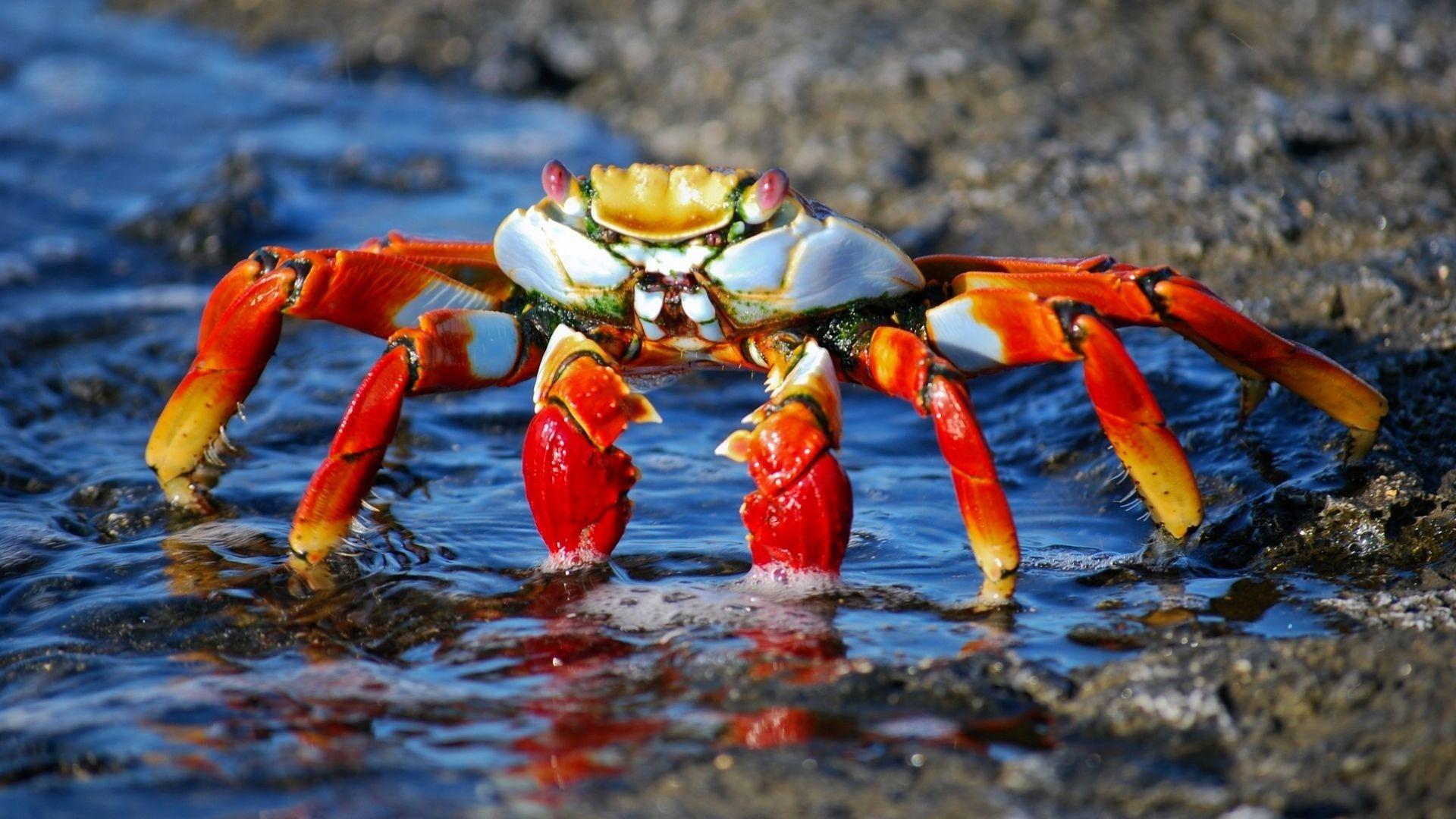 Crab 1080p Wallpaper