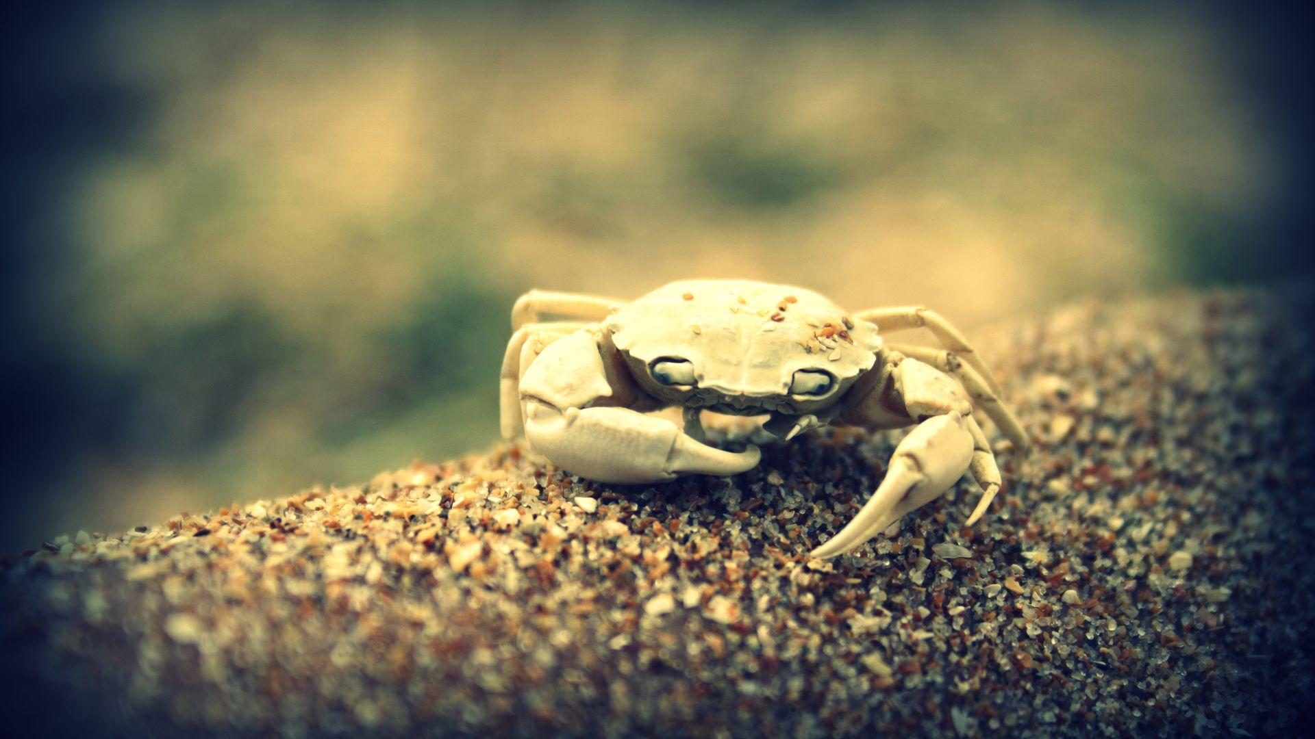 Crab Free Download Wallpaper