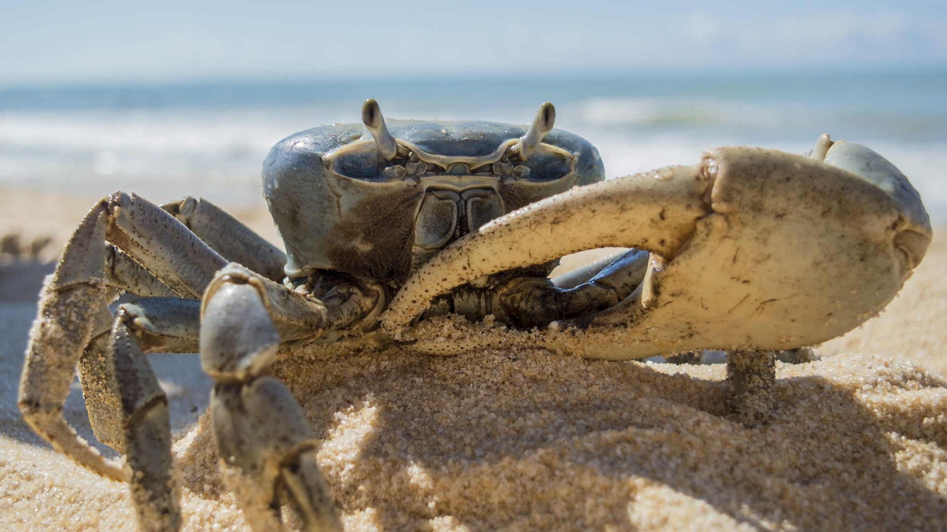 Crab desktop wallpaper download