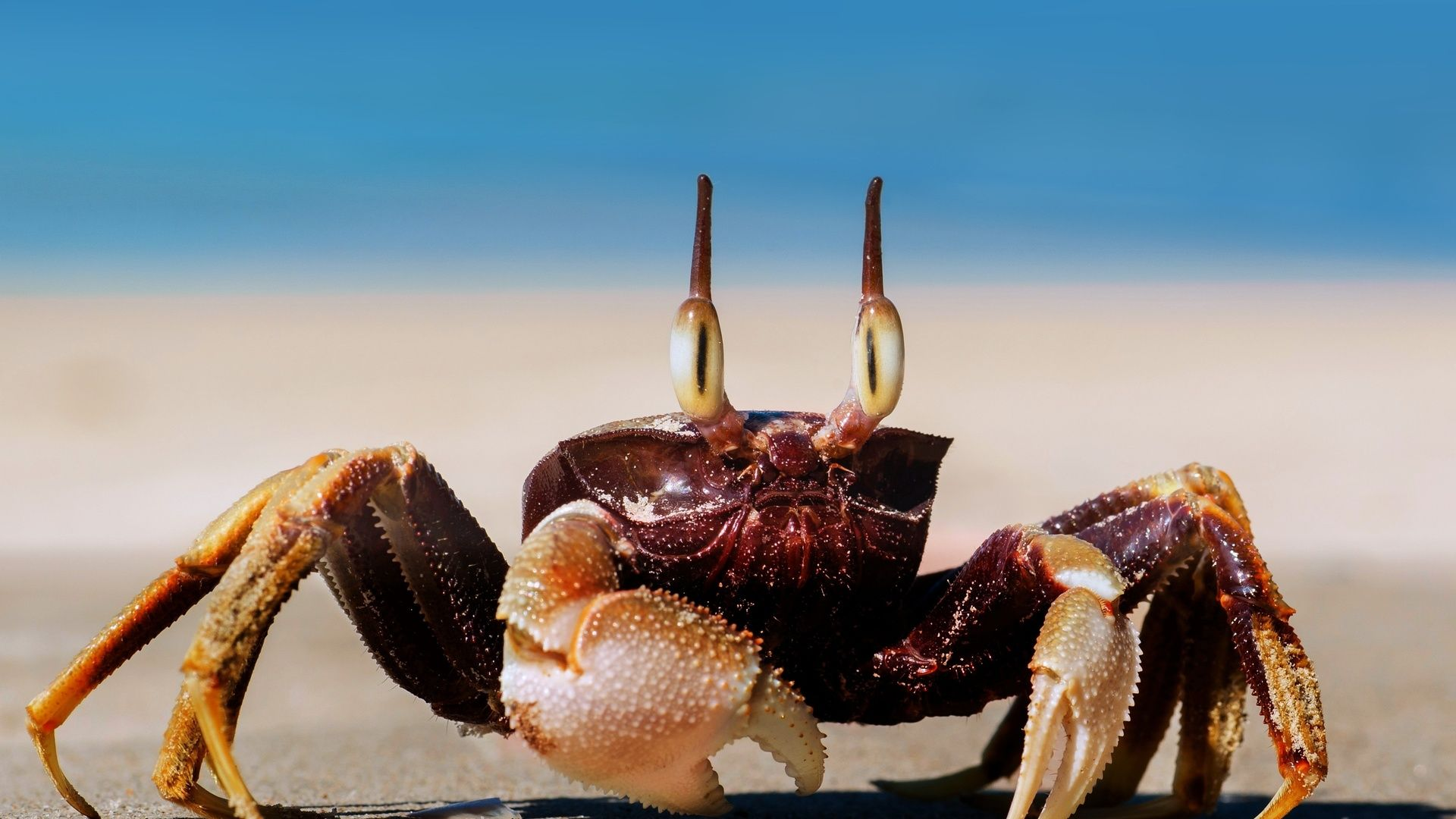 Crab wallpaper picture hd