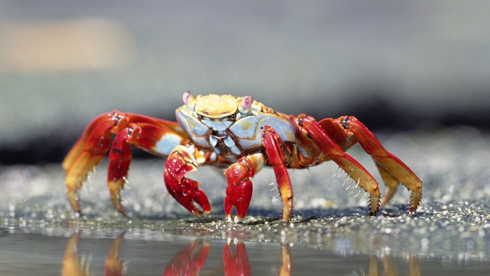Crab Free Wallpaper and Background