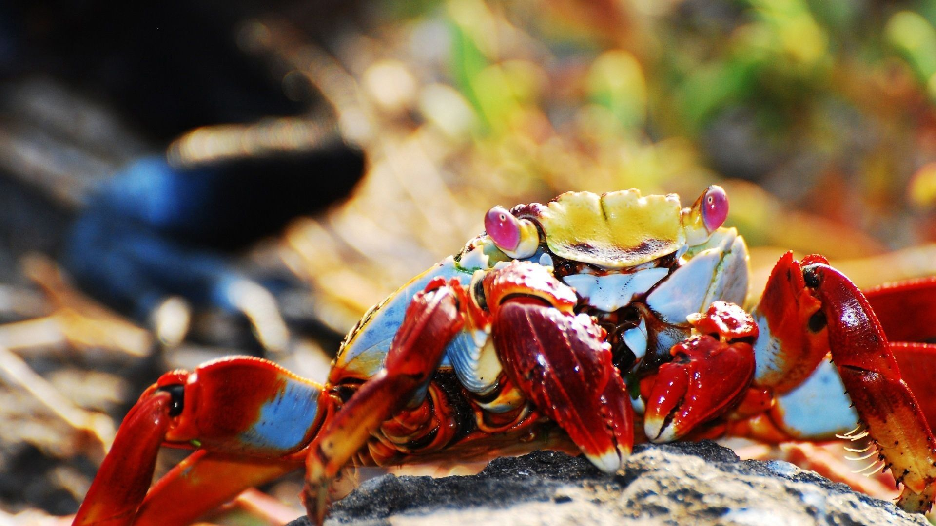 Crab wallpaper image