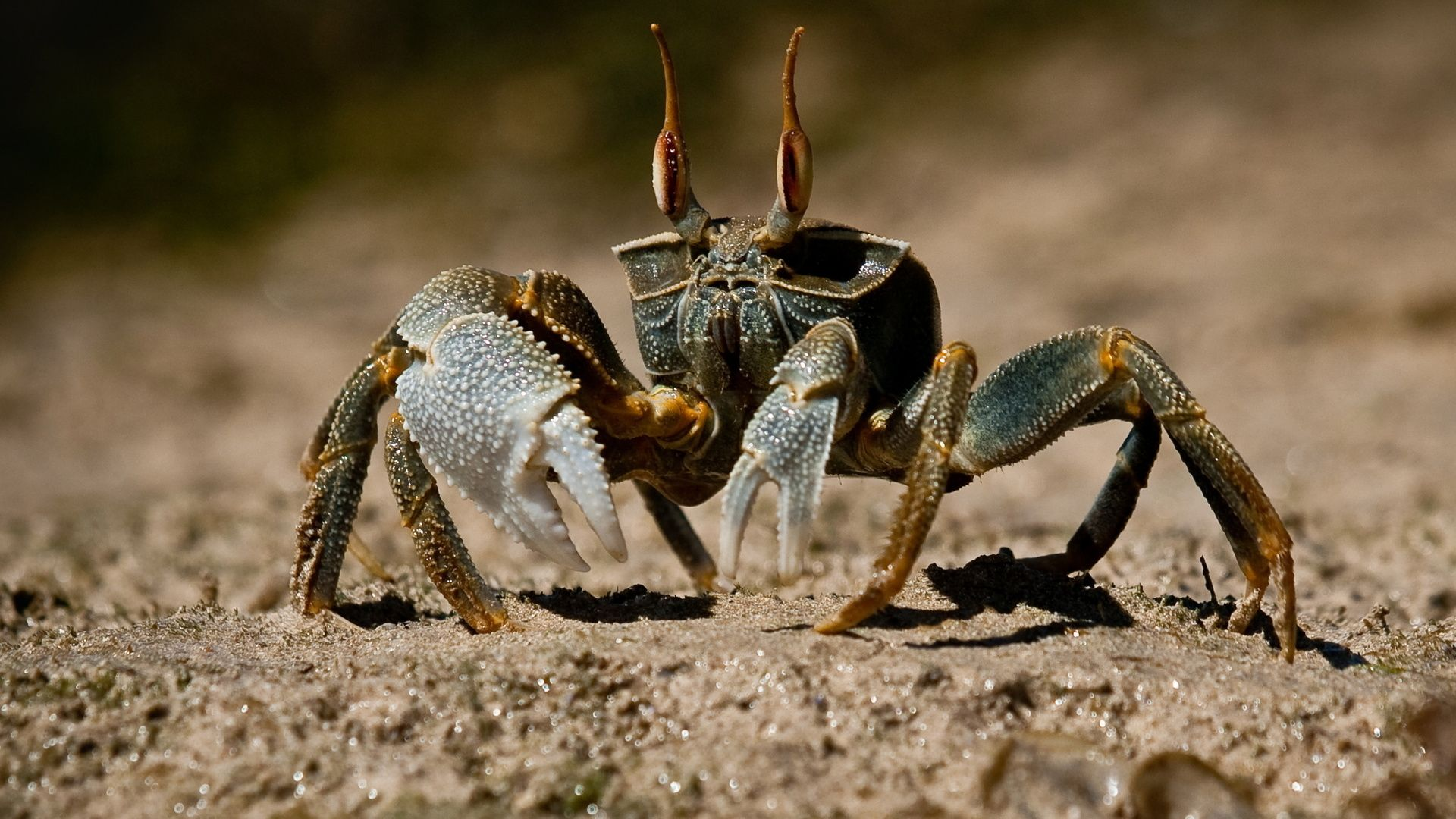 Crab hd wallpaper for laptop