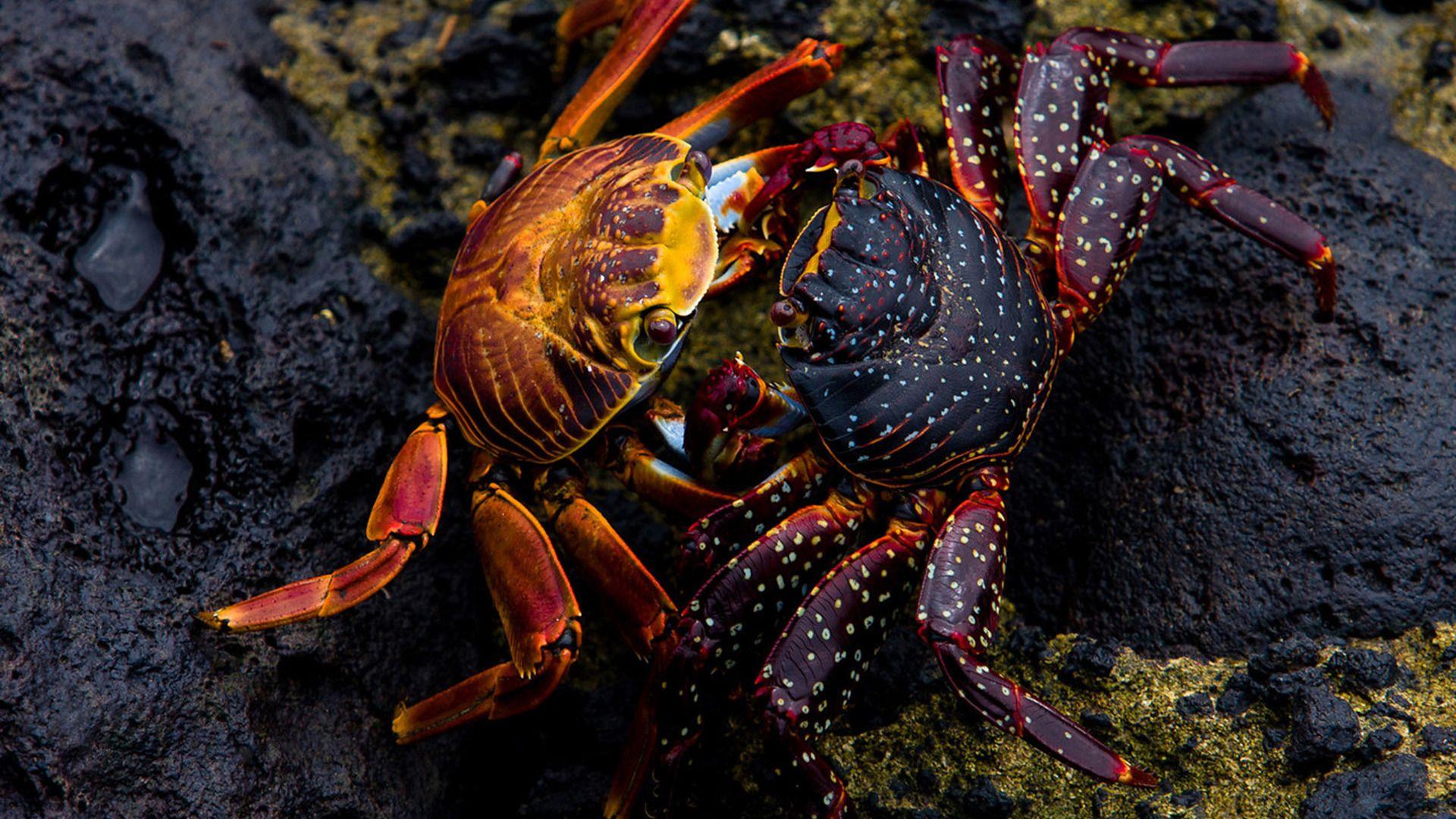 Crab PC Wallpaper