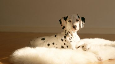 Dalmatian High Quality