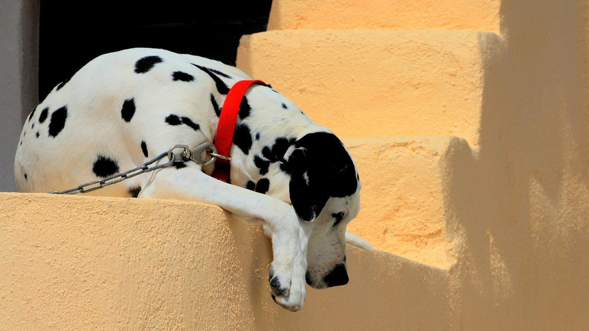 Dalmatian a wallpaper