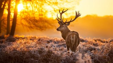 Deer Background Wallpaper HD