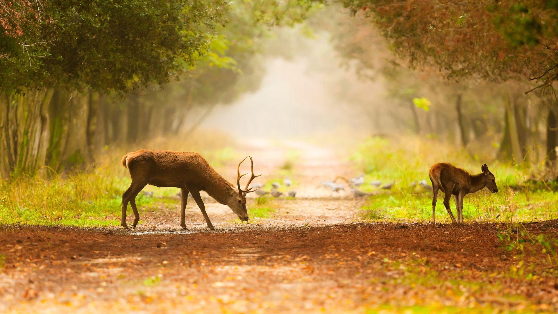 Deer full hd wallpaper