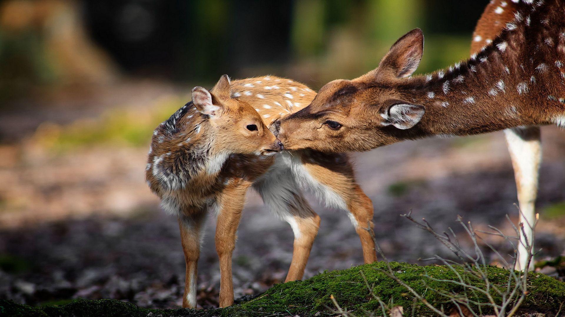 Deer download wallpaper image