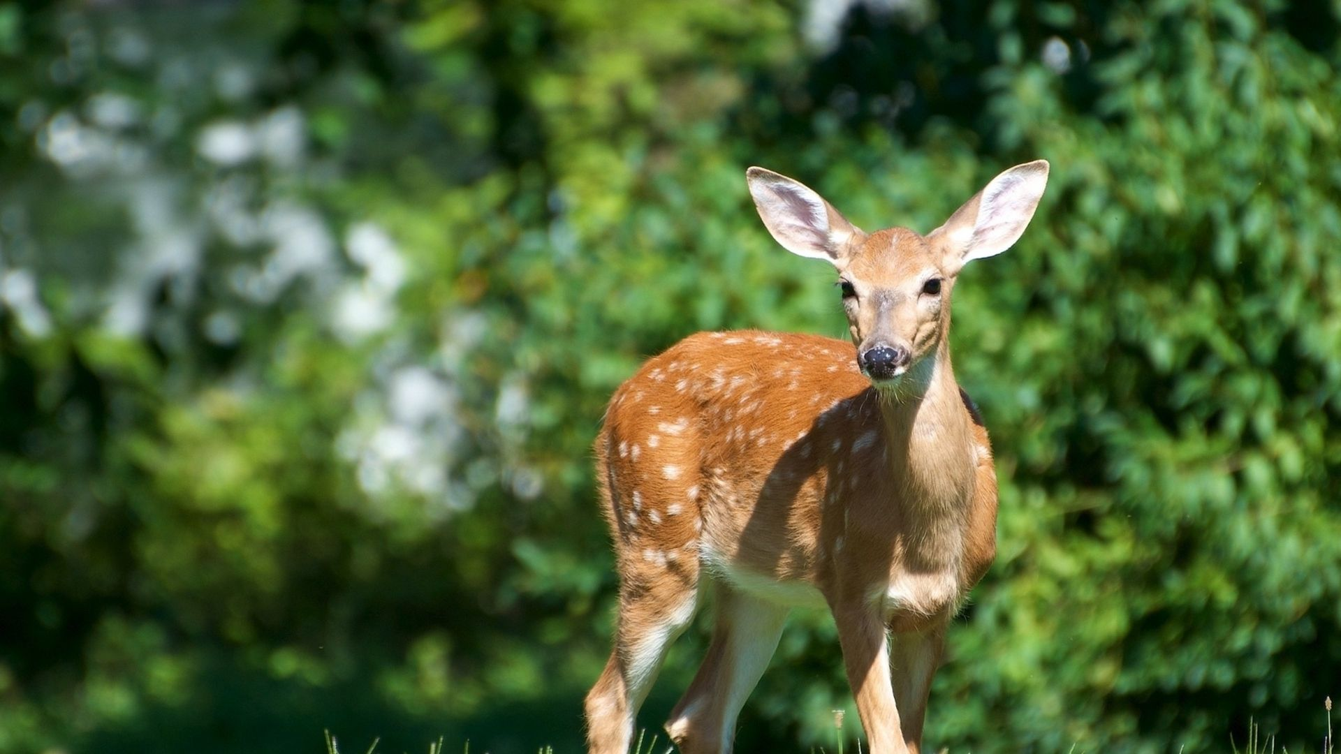 Deer Free Download Wallpaper