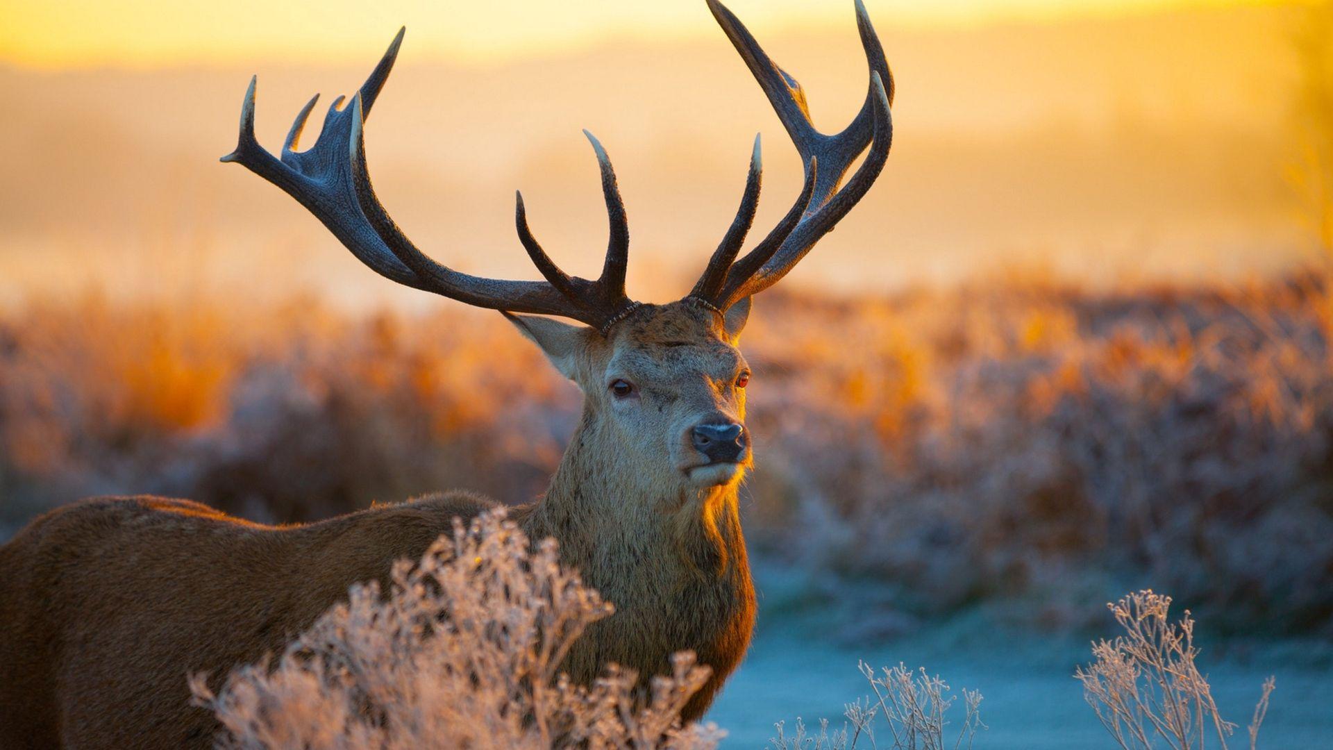 Deer new wallpaper