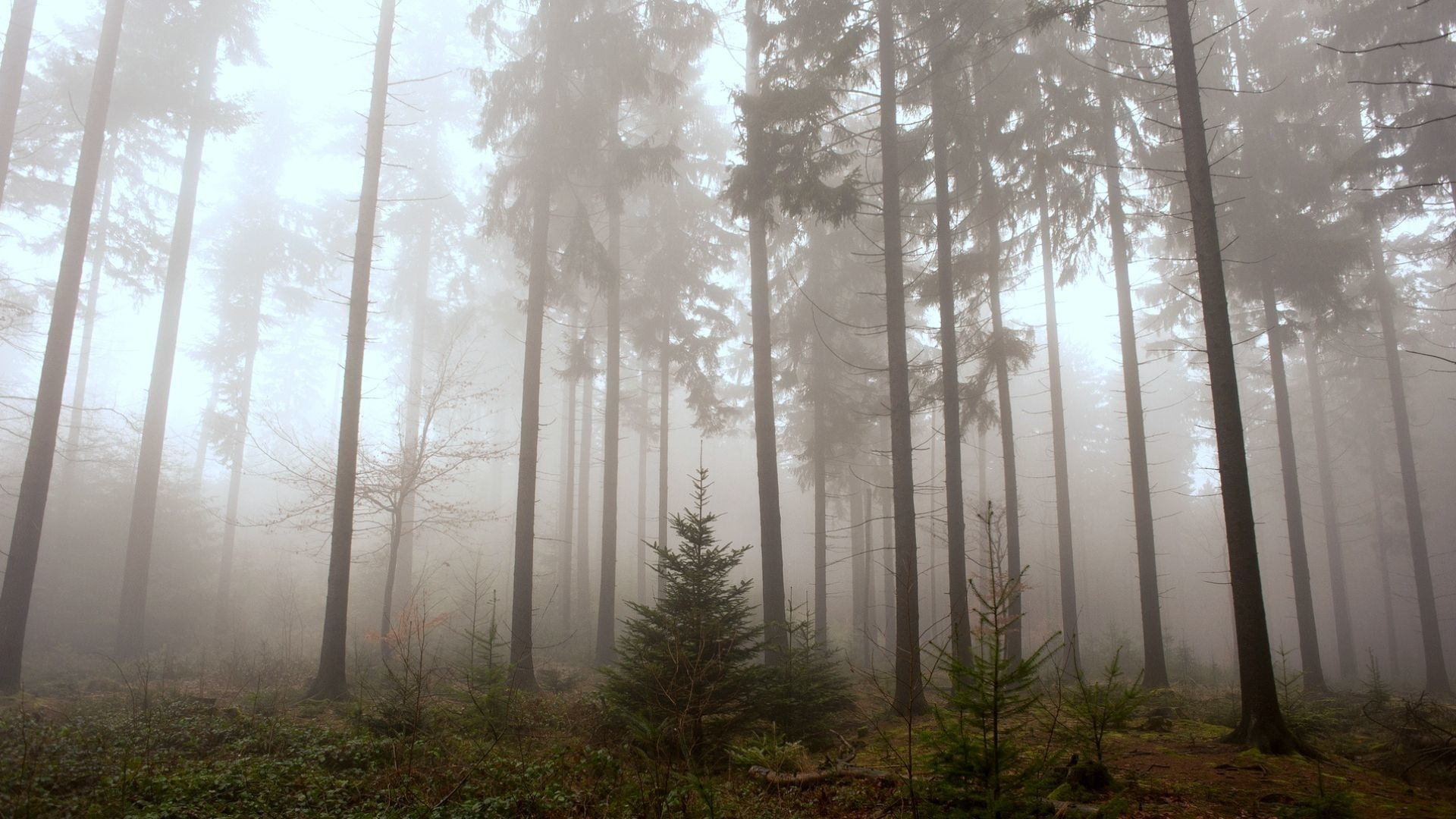 Foggy Forest wallpaper photo