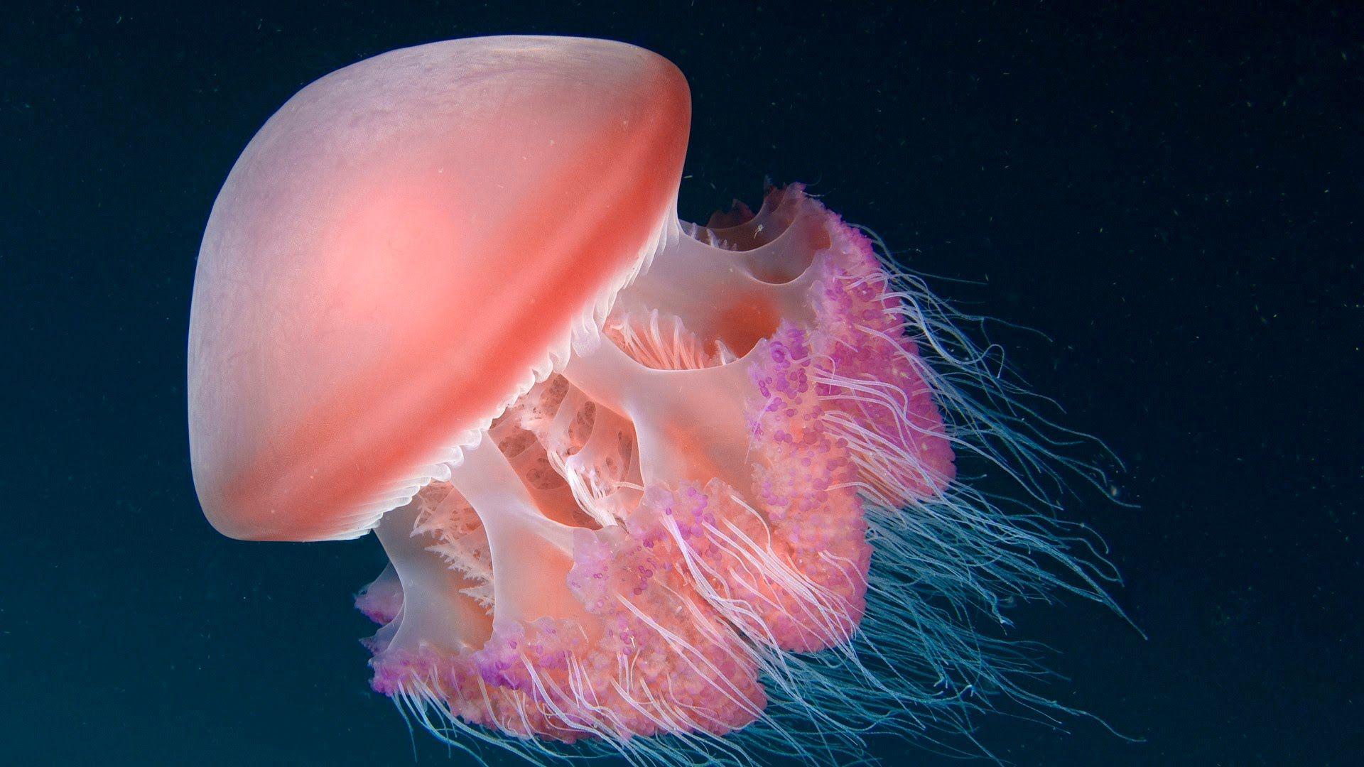 Jellyfish Wallpaper Image