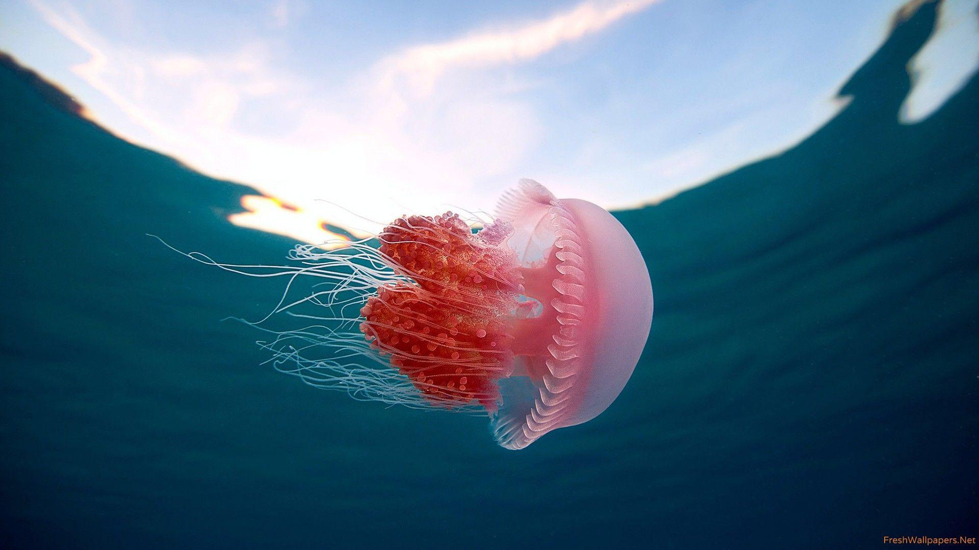 Jellyfish Free Download Wallpaper