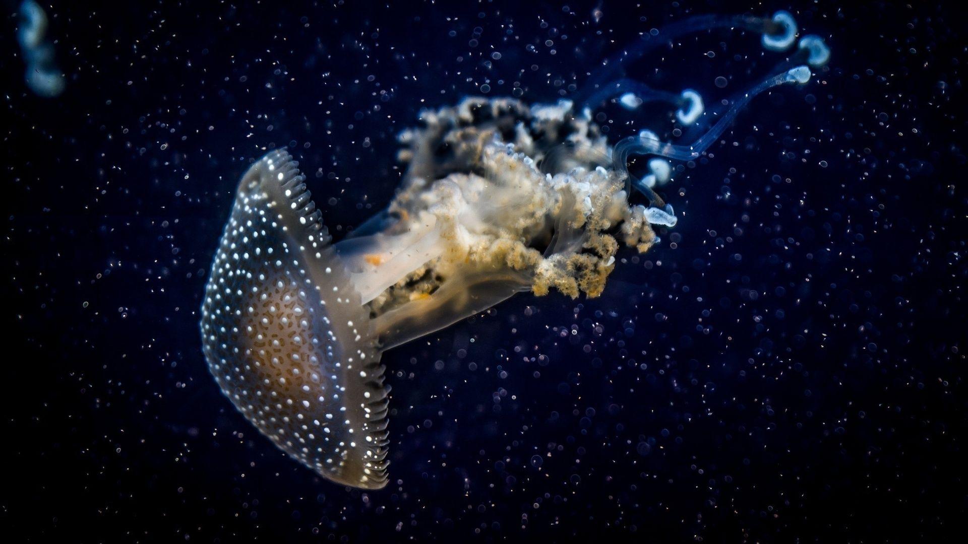 Jellyfish desktop wallpaper