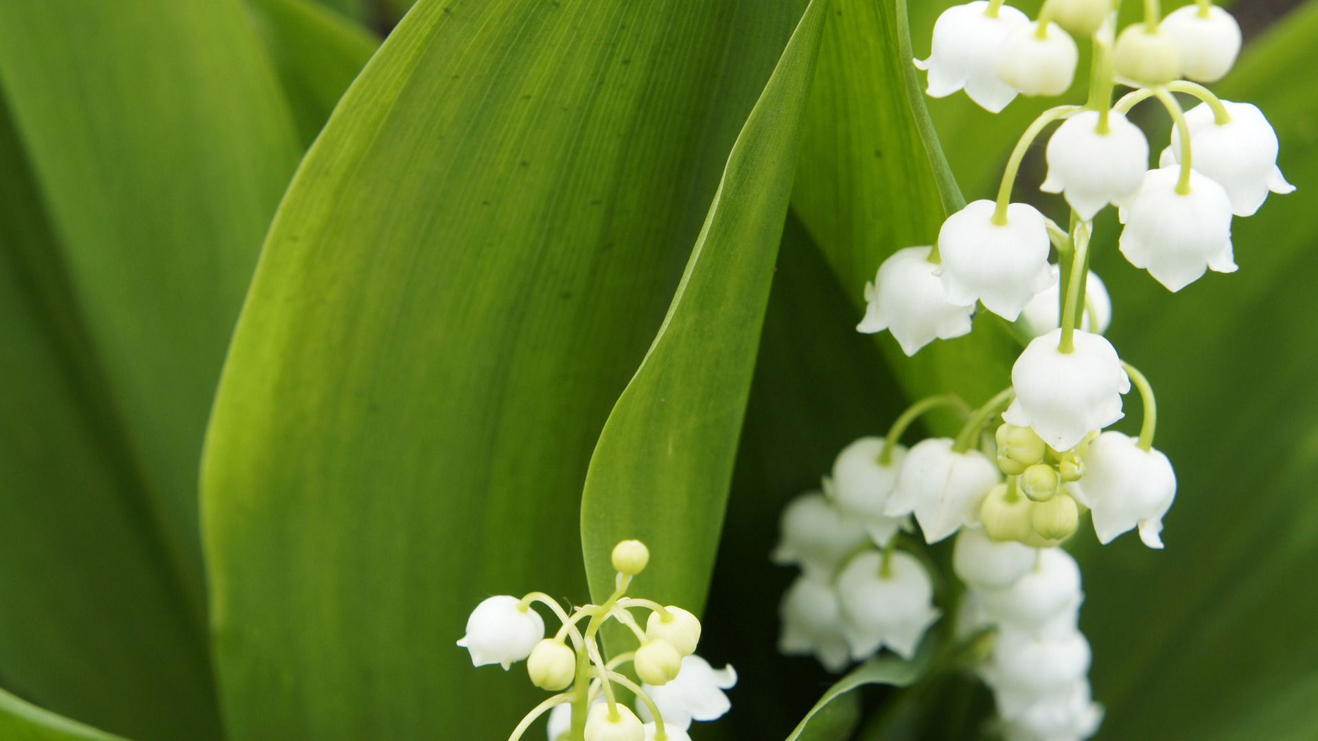 Lily Of The Valley High Definition